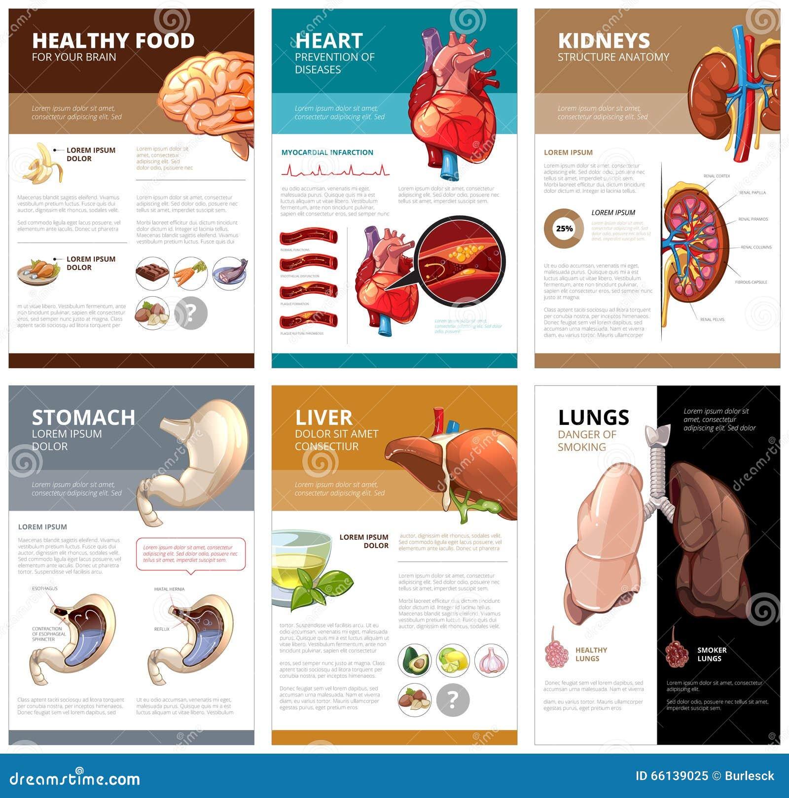 Diagrama De Carta Interno De Los órganos Humanos Infographic ...