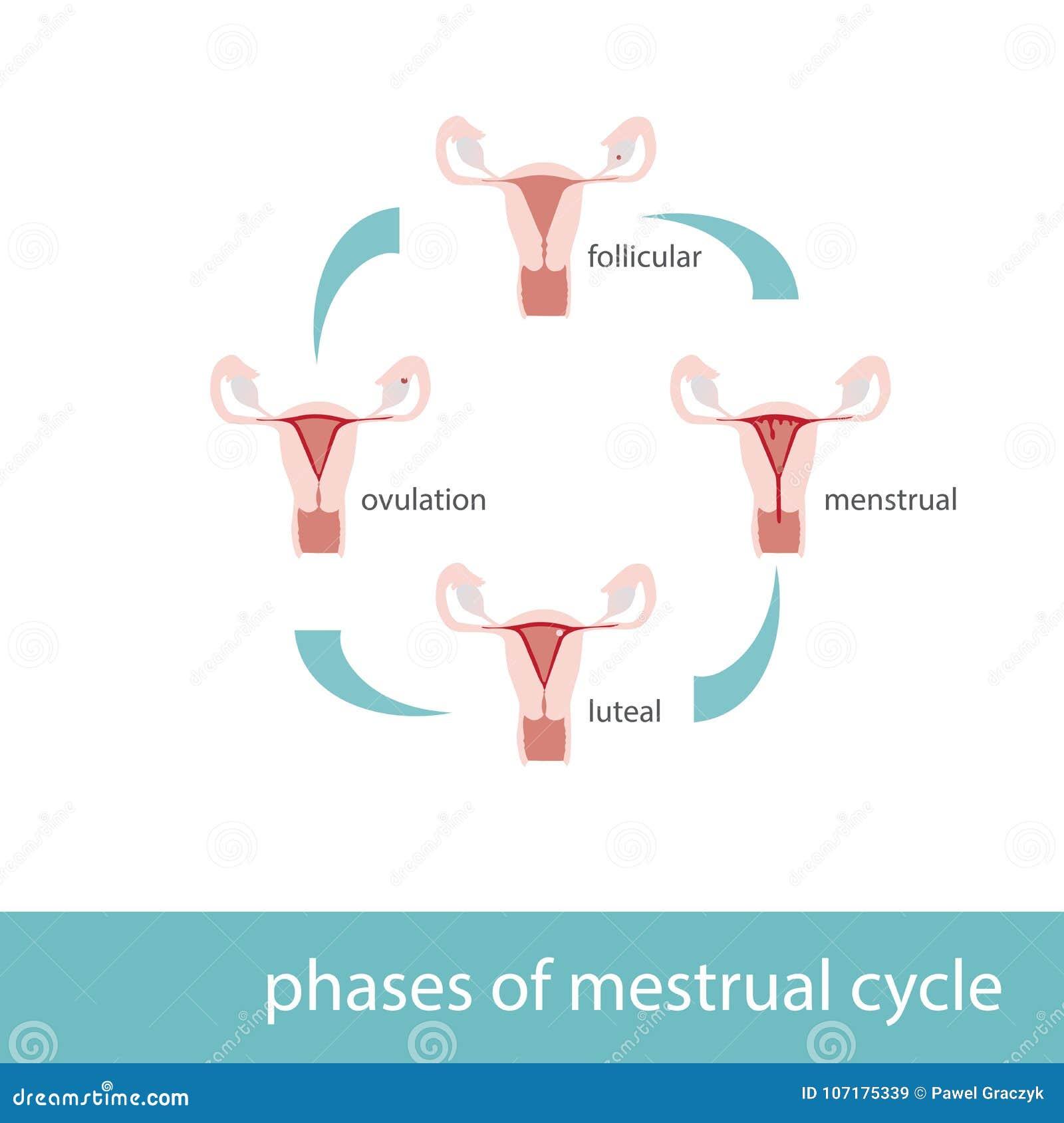 Diagrama De Fases De Ciclo Menstrual Ilustración del Vector ...