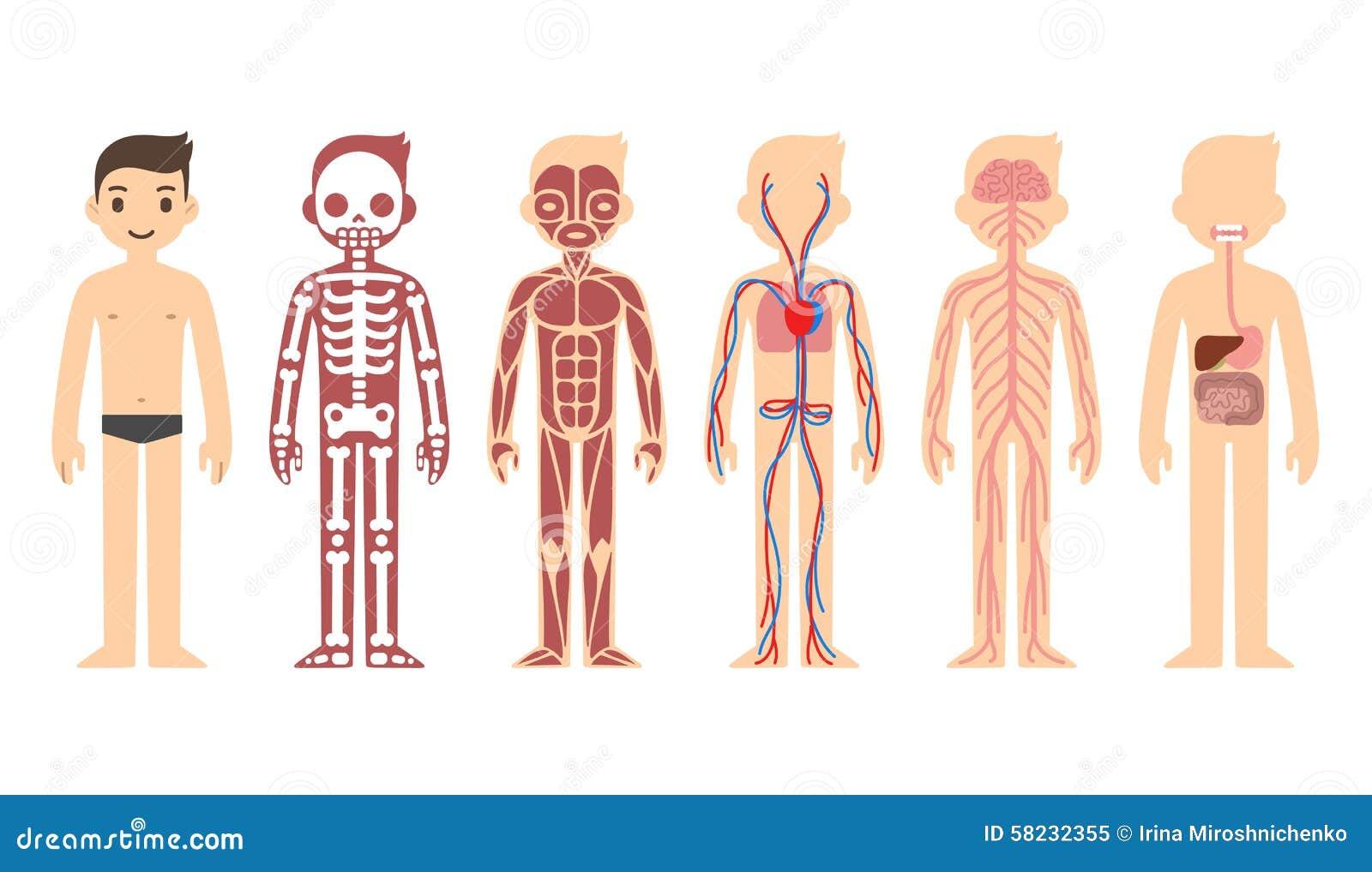 Diagrama de la anatomía ilustración del vector. Ilustración de ...