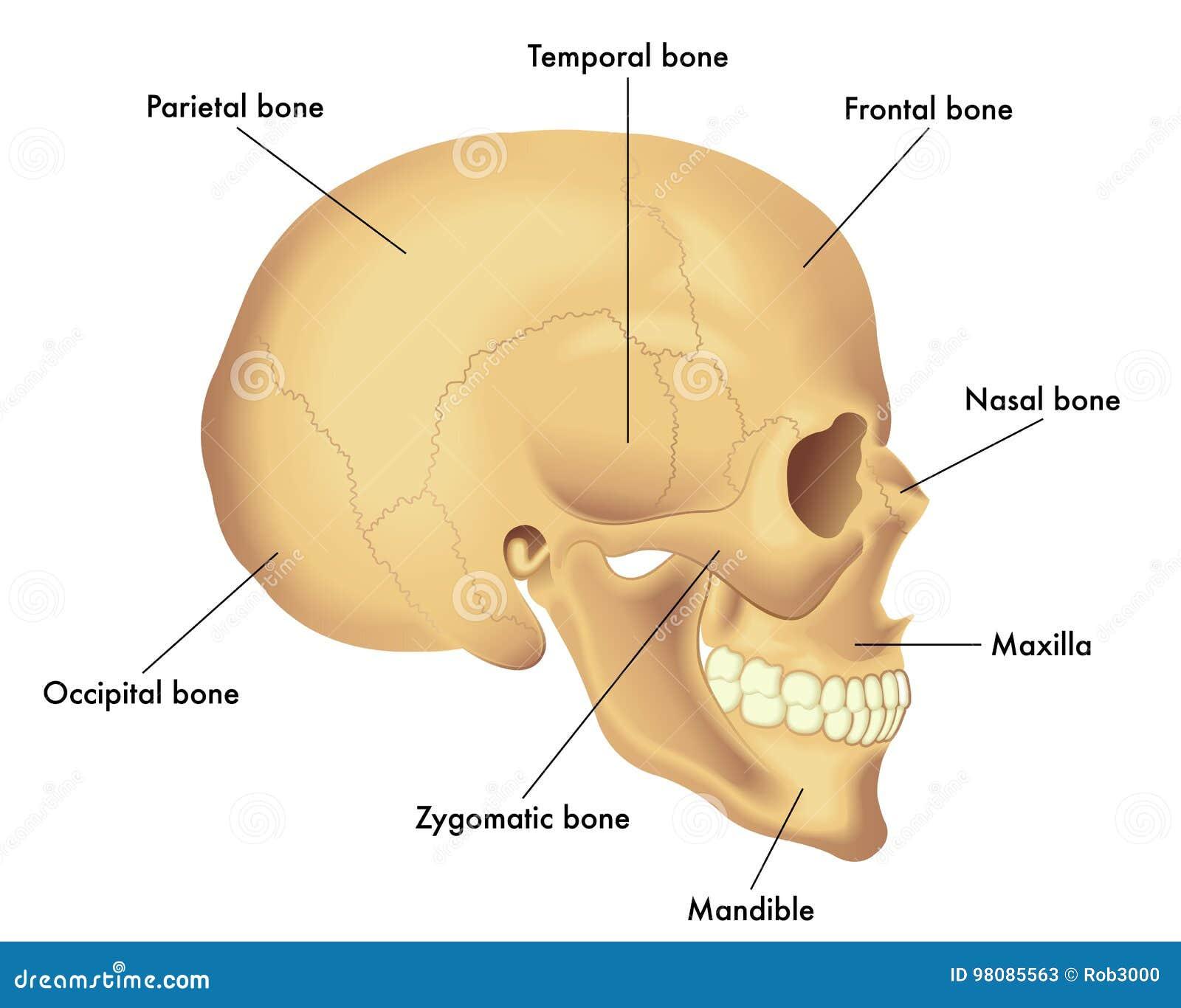 Diagrama De La Anatomía De Un Cráneo Ilustración del Vector ...