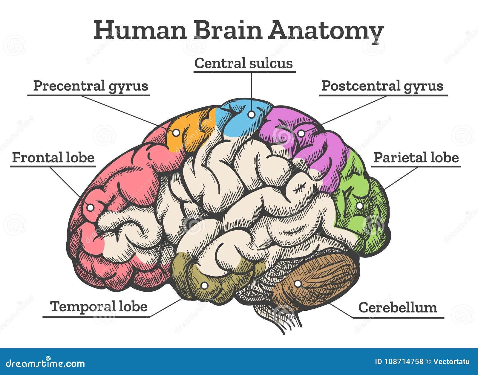 Diagrama De La Anatomía Del Cerebro Humano Ilustración del Vector ...