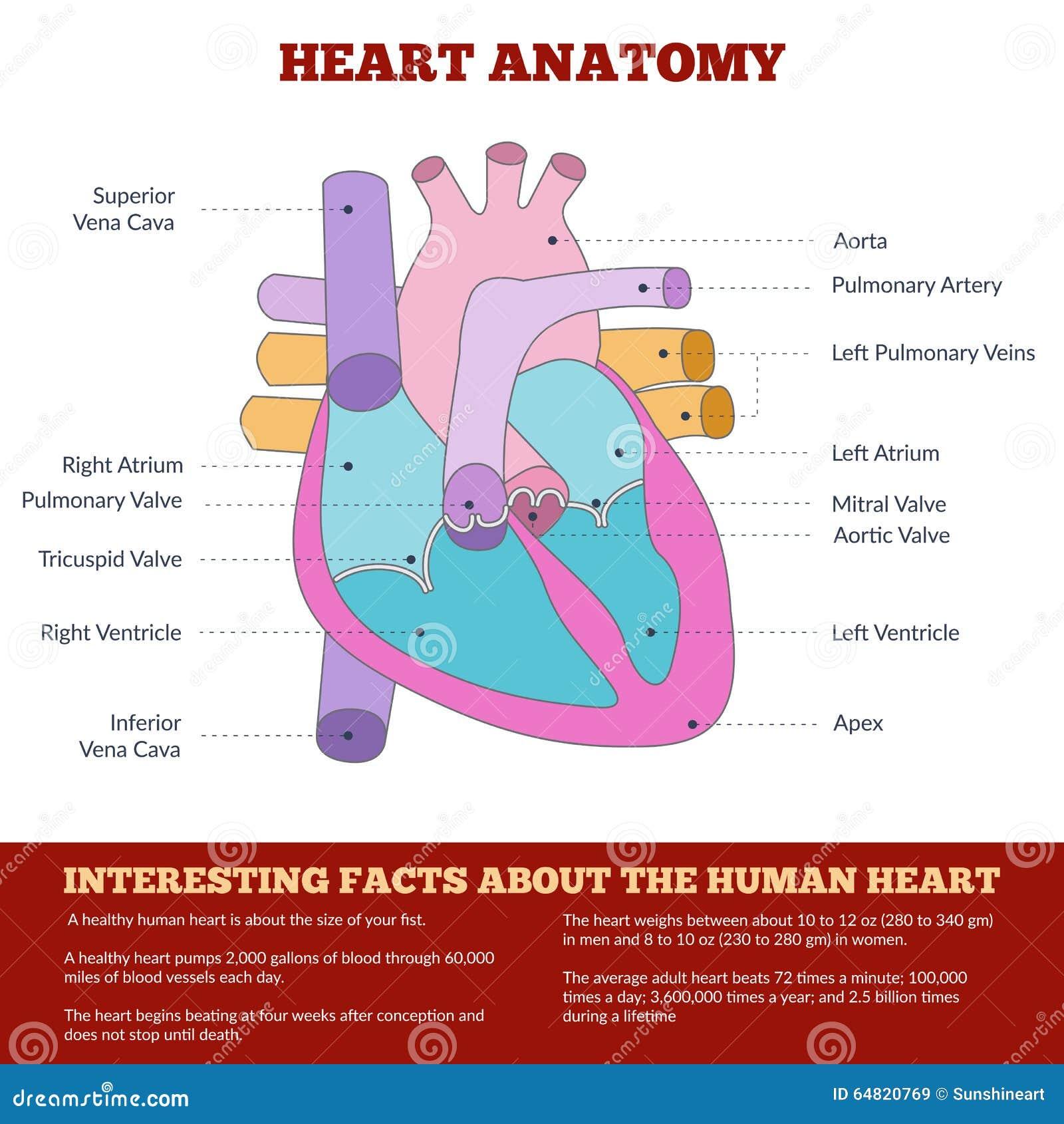 Diagrama De La Anatomía Humana Del Corazón Ilustración del Vector ...