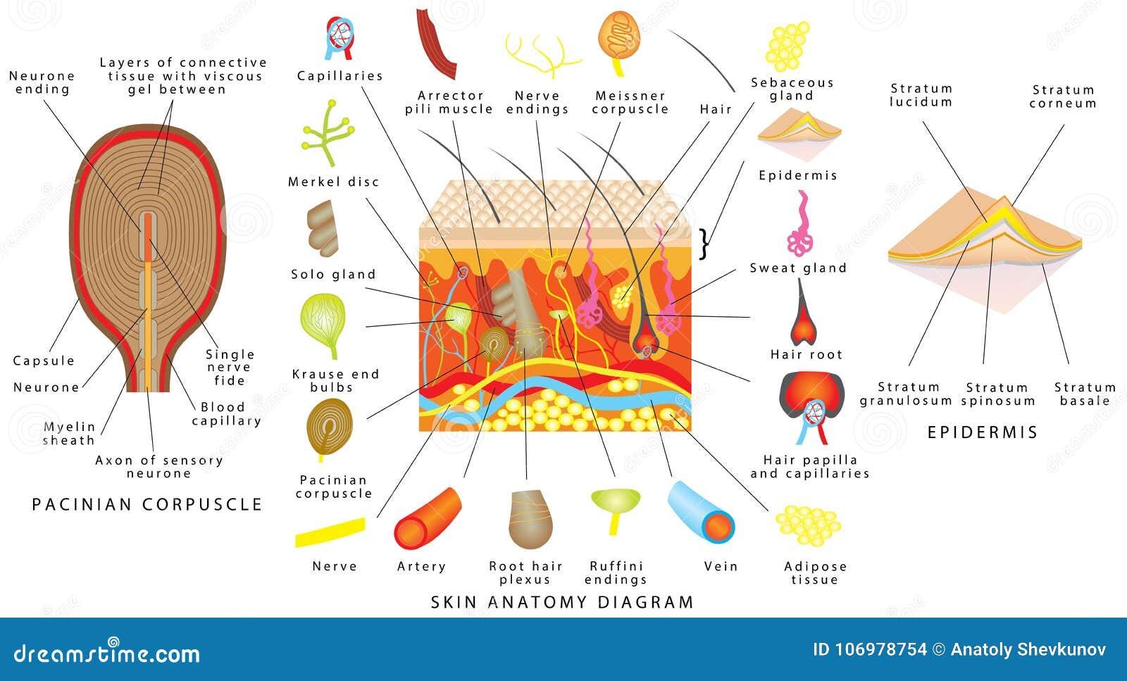 Diagrama De La Anatomía De La Piel Ilustración del Vector ...