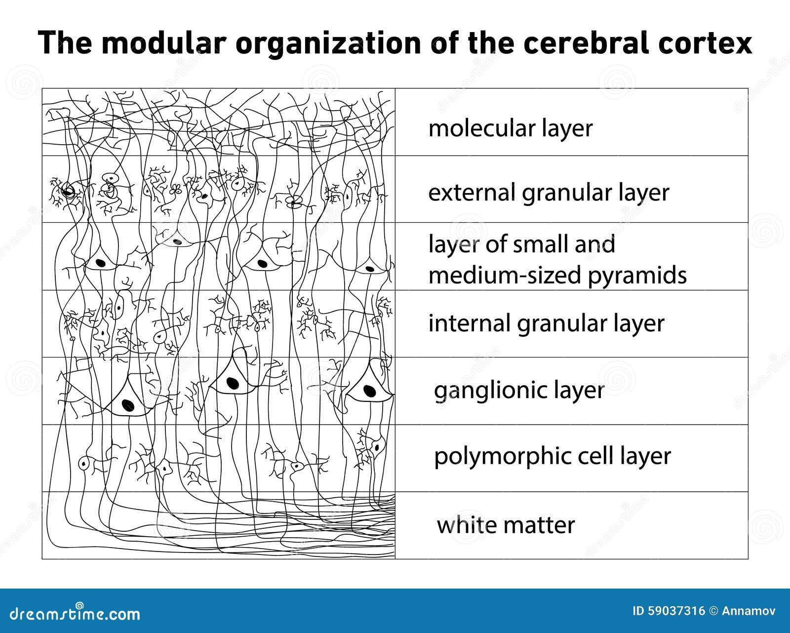 Diagrama De La Estructura De La Corteza Cerebral Ilustración del ...