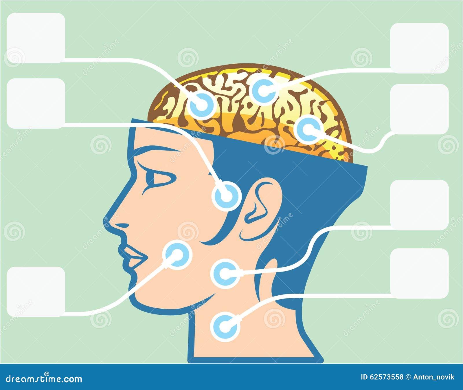 Diagrama De Las Funciones Del Cerebro Y De La Cabeza Ilustración del ...