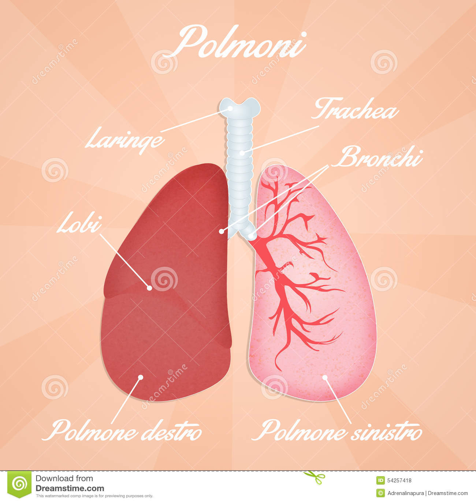 Magnífico Diagrama De Pulmones Humanos Galería - Imágenes de ...
