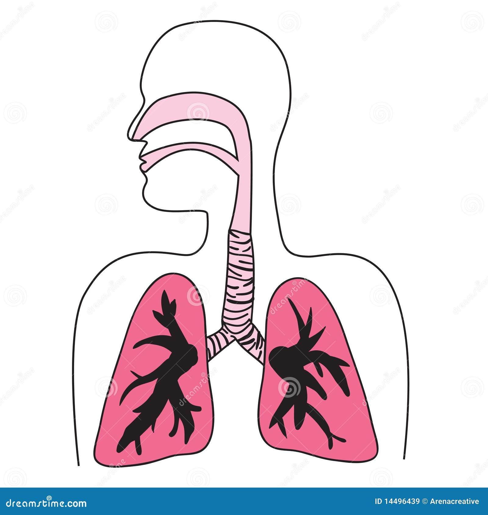 Diagrama De Sistema Respiratorio Humano Ilustraciones Stock ...