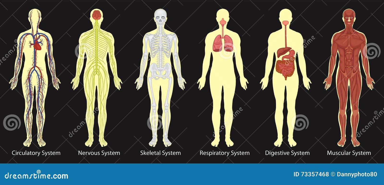 Órganos Del Diagrama Del Cuerpo Humano Ilustración del Vector ...