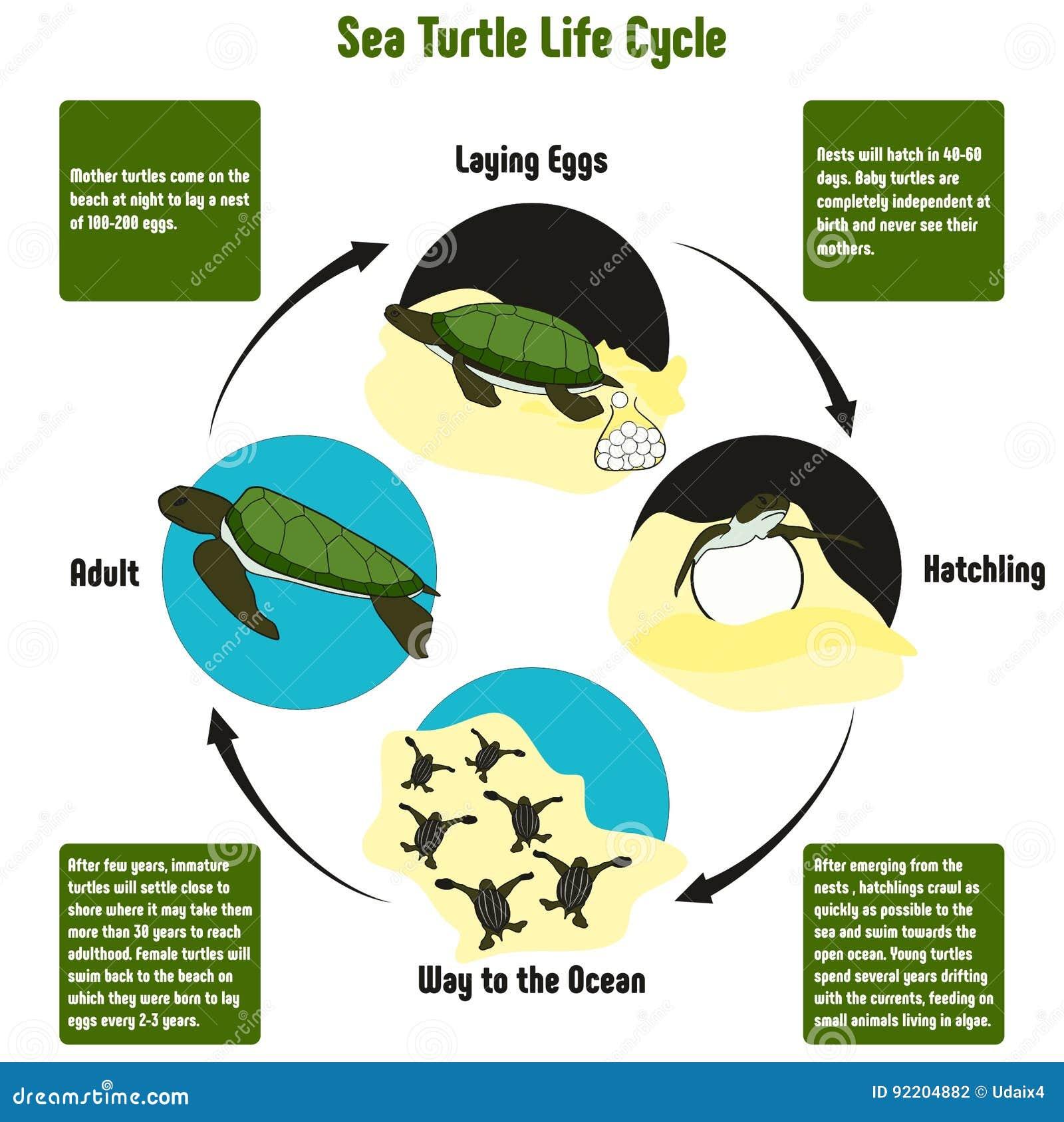 Diagrama Del Ciclo De Vida De La Tortuga De Mar Ilustración del ...