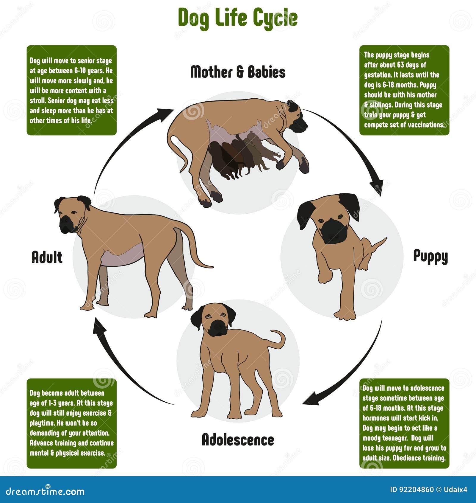 Diagrama del ciclo de vida del perro
