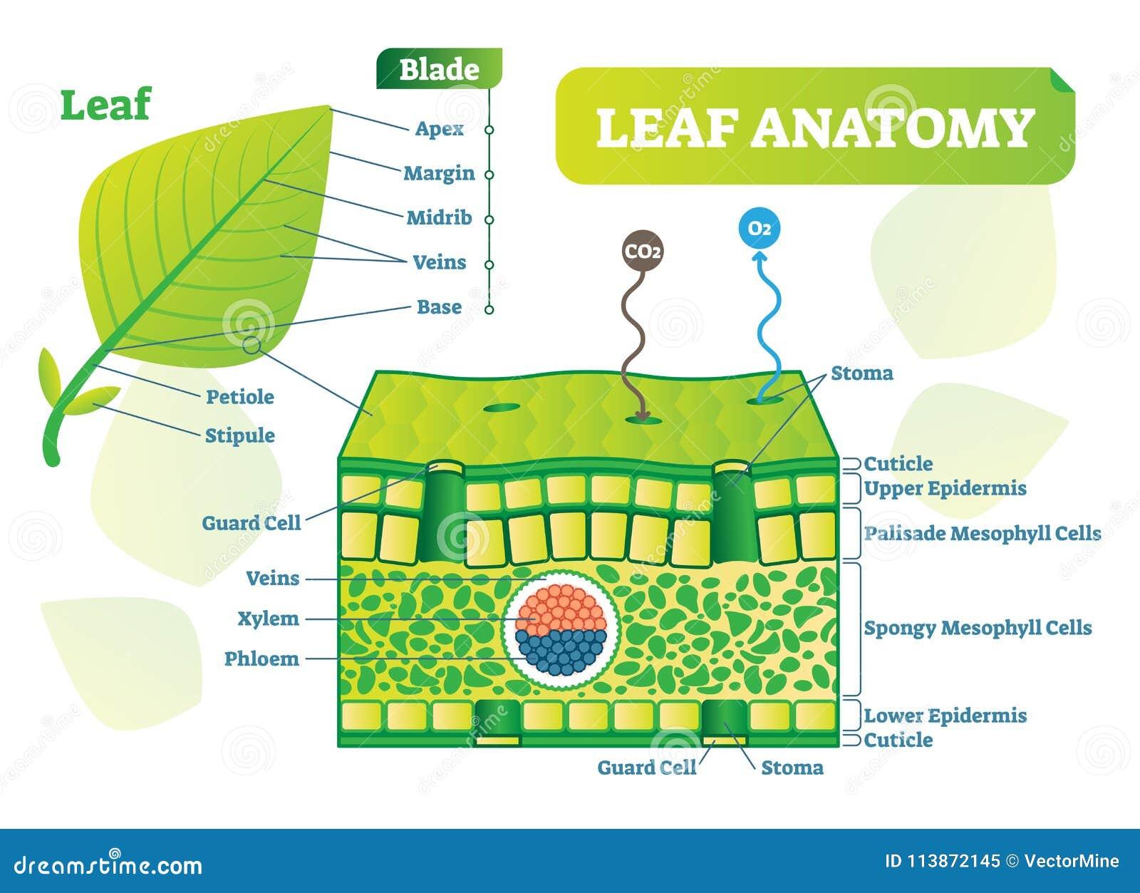 Excelente Anatomía Diagrama Hembra Componente - Imágenes de Anatomía ...