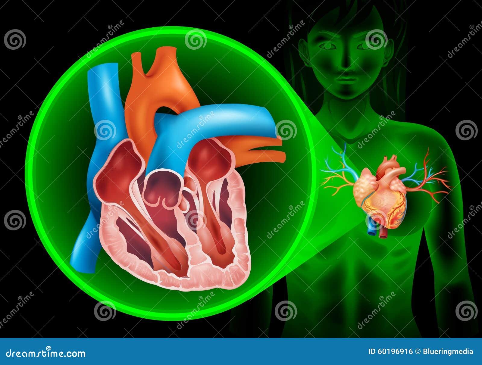 Lujoso Foto Marcada Del Corazón Humano Molde - Imágenes de Anatomía ...