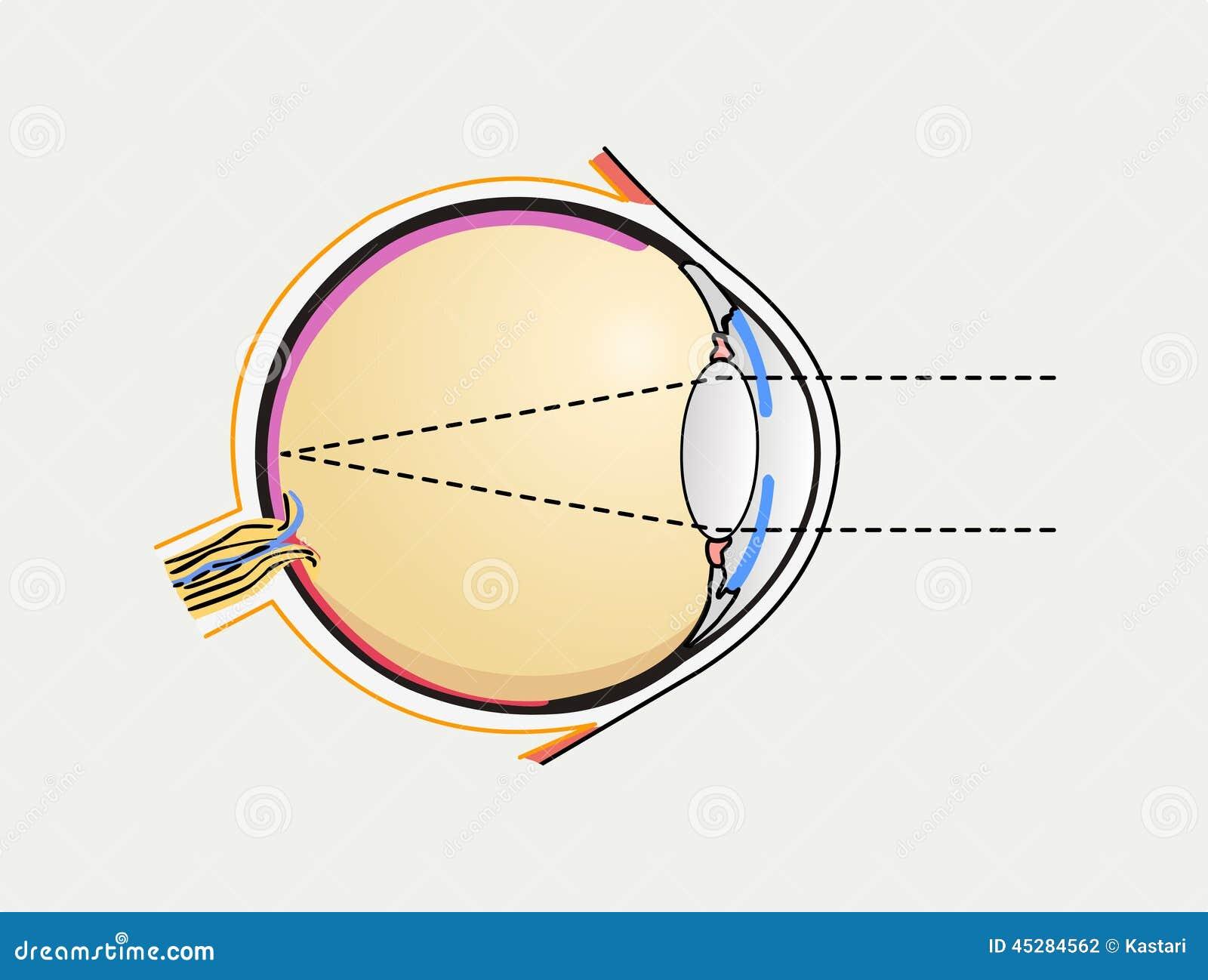 Excelente Diagrama De Ojo Para Los Niños Ornamento - Anatomía de Las ...