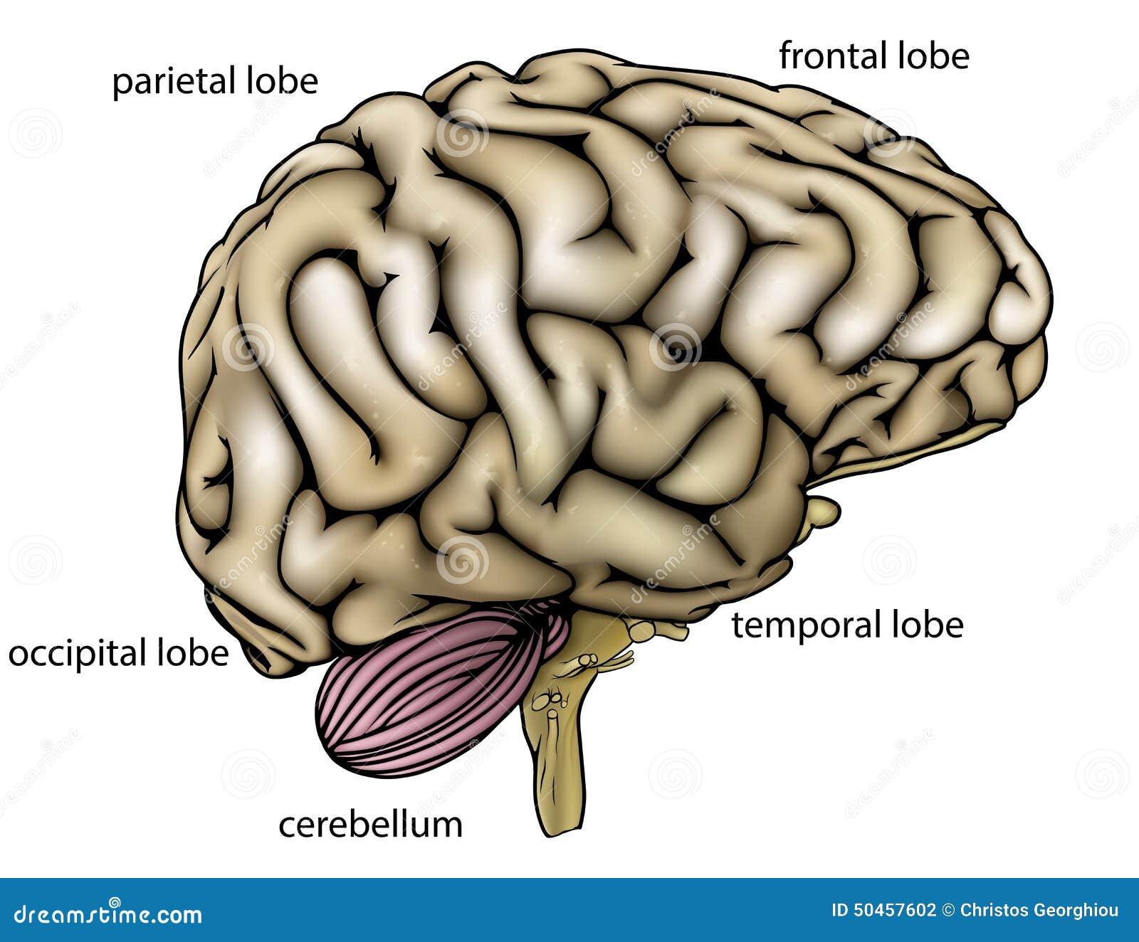 Diagrama Etiquetado Anatomía Del Cerebro Ilustración del Vector ...