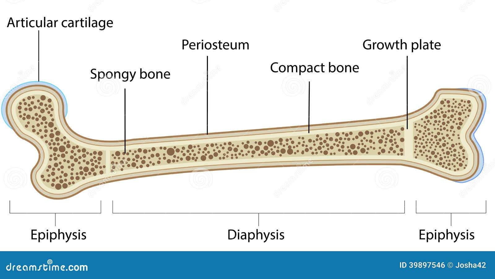 Diagrama Etiquetado Anatomía Del Hueso Ilustración del Vector ...