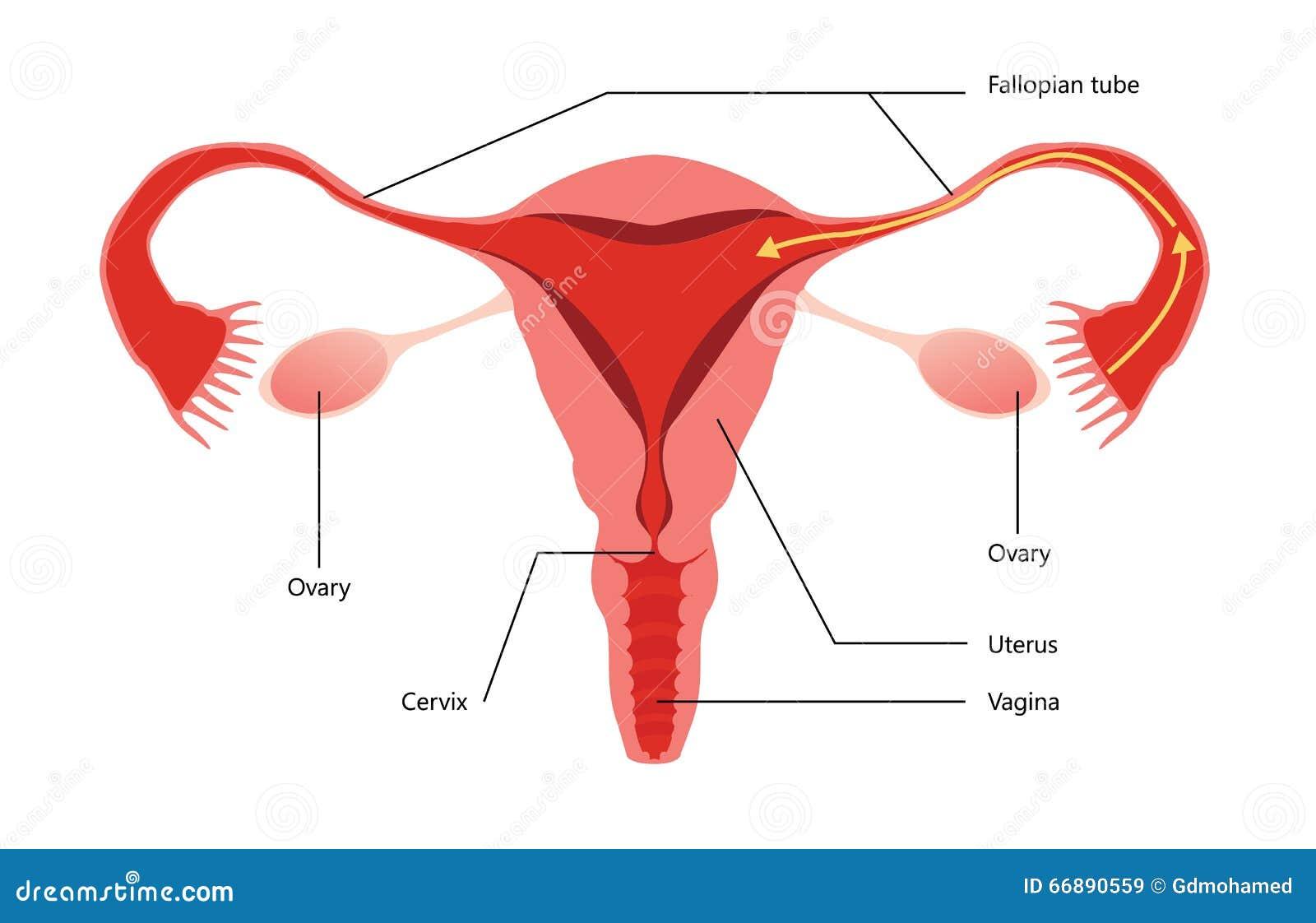 Diagrama Femenino Del Vector Del Sistema Reproductivo Ilustración ...