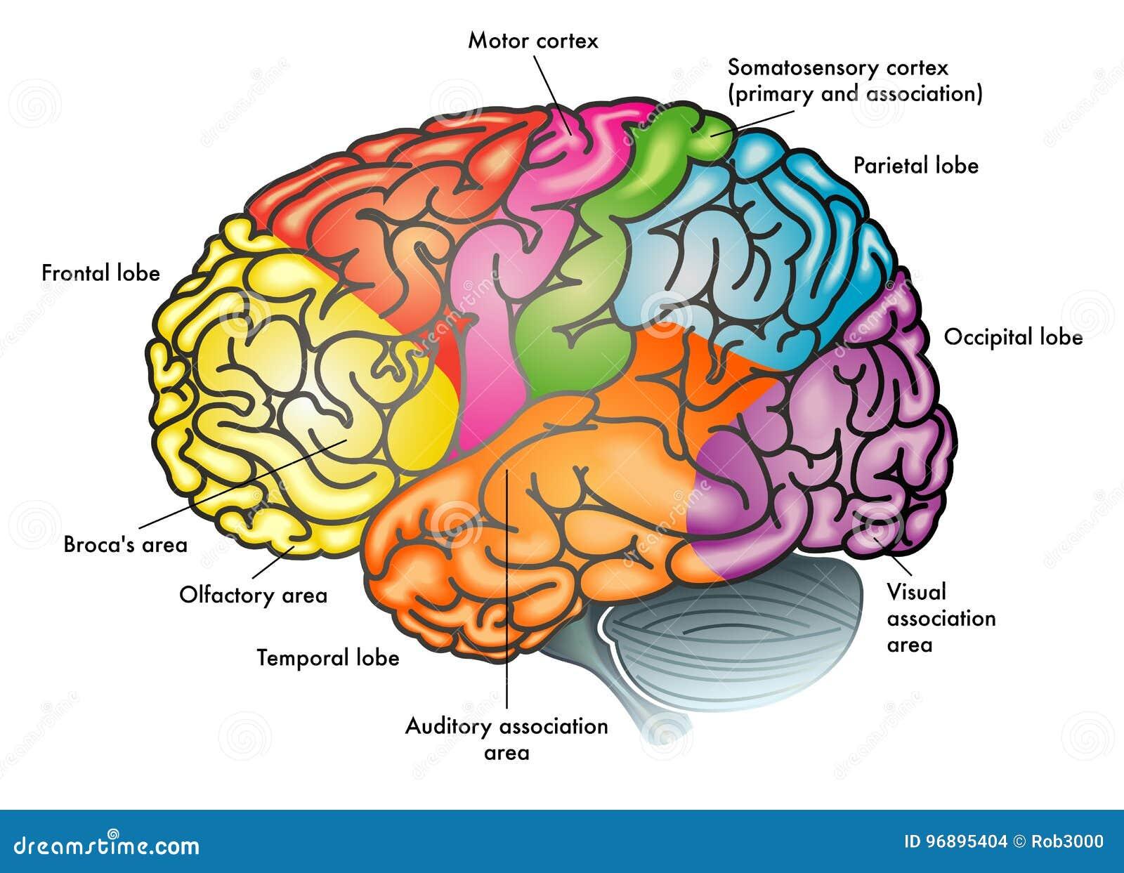 Diagrama Funcional Del Cerebro Humano Ilustración del Vector ...