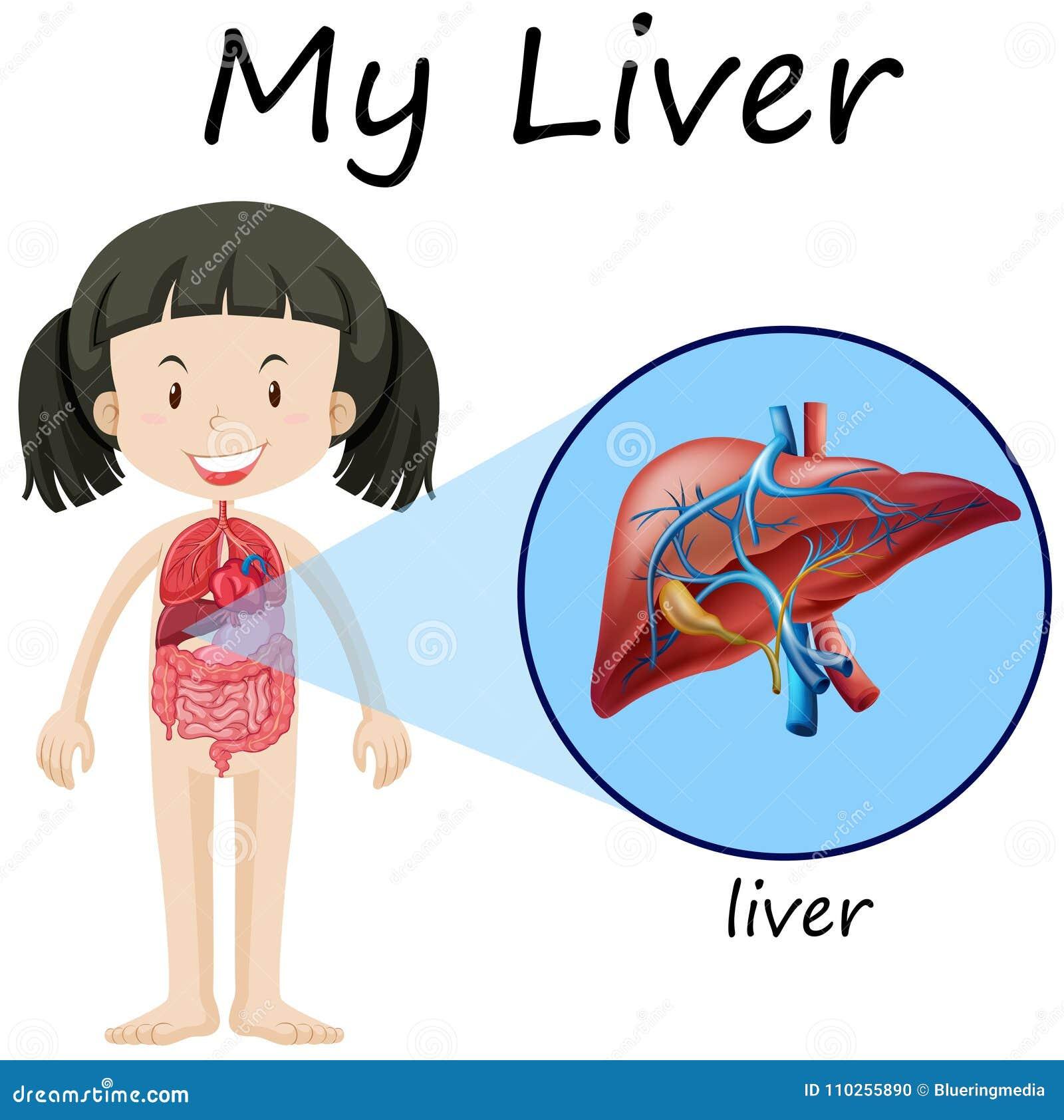 Diagrama Humano De La Anatomía Con La Muchacha Y El Hígado ...
