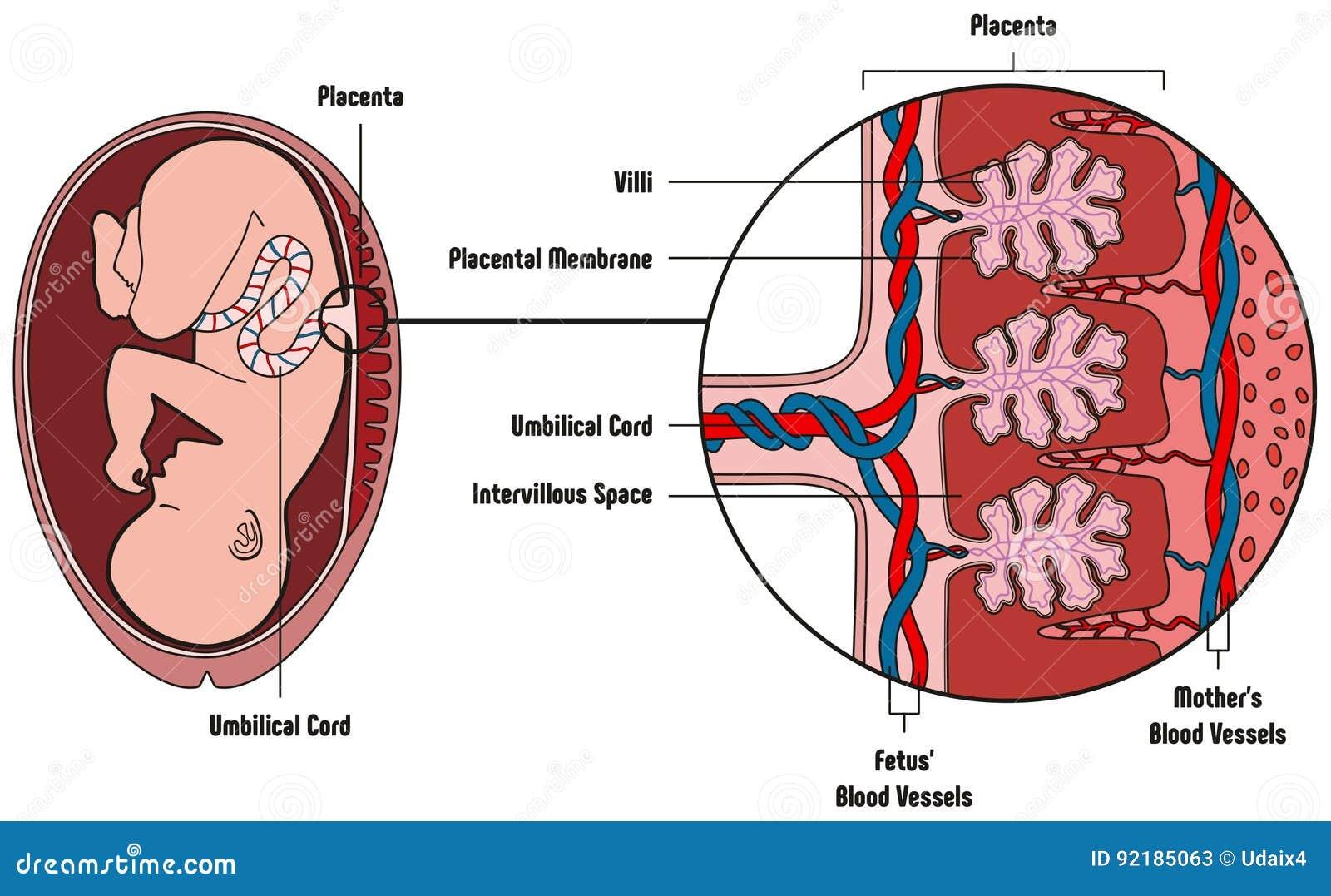 Anatomía Embarazada Y El Feto Ilustración del Vector - Ilustración ...