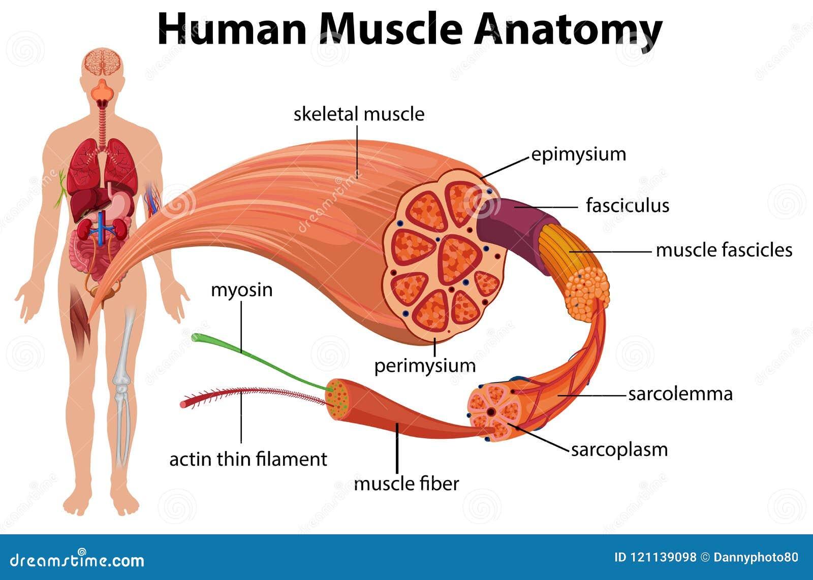 Diagrama Humano De La Anatomía Del Músculo Ilustración del Vector ...