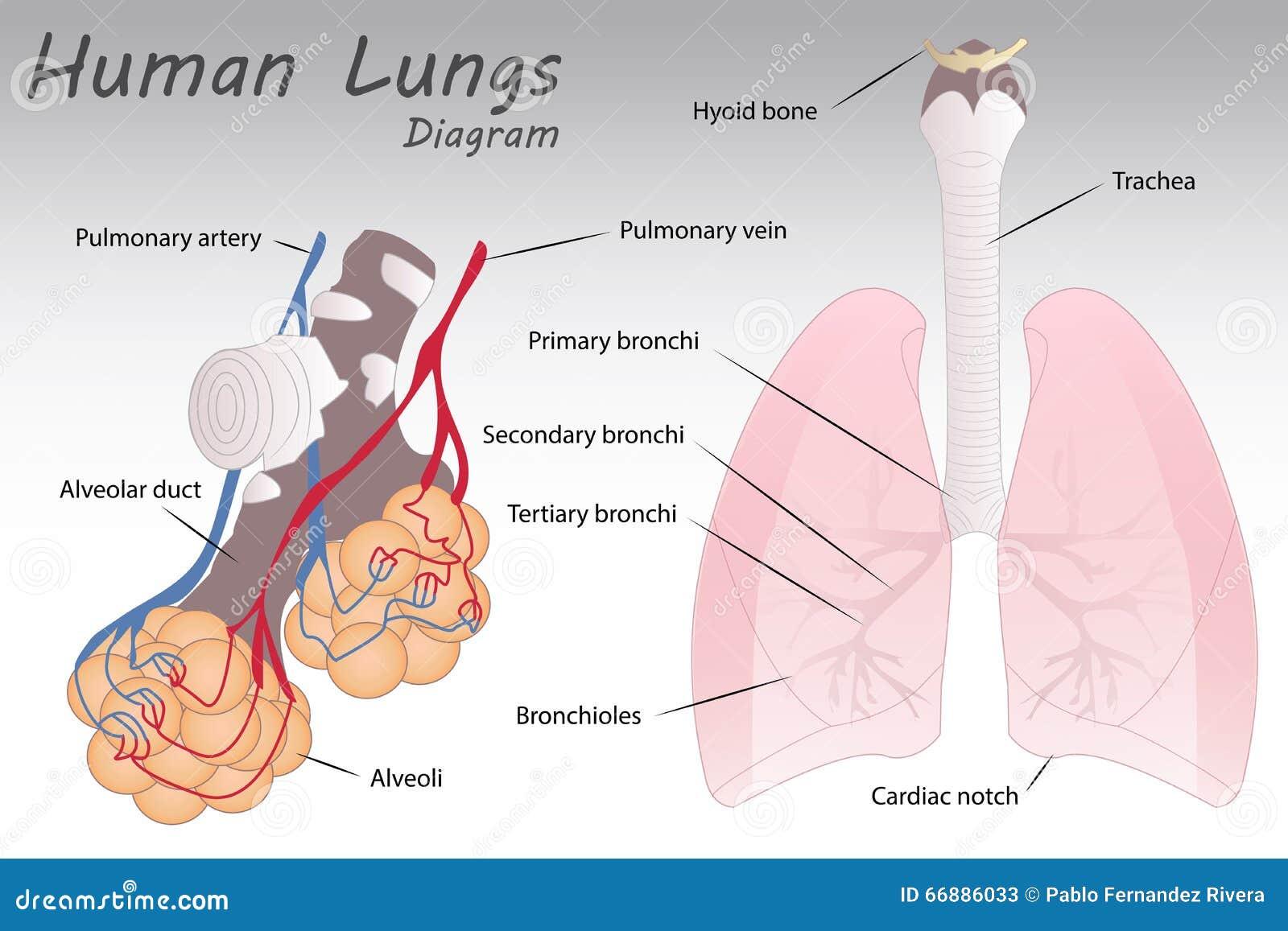 Diagrama Humano De Los Pulmones Ilustración del Vector - Ilustración ...