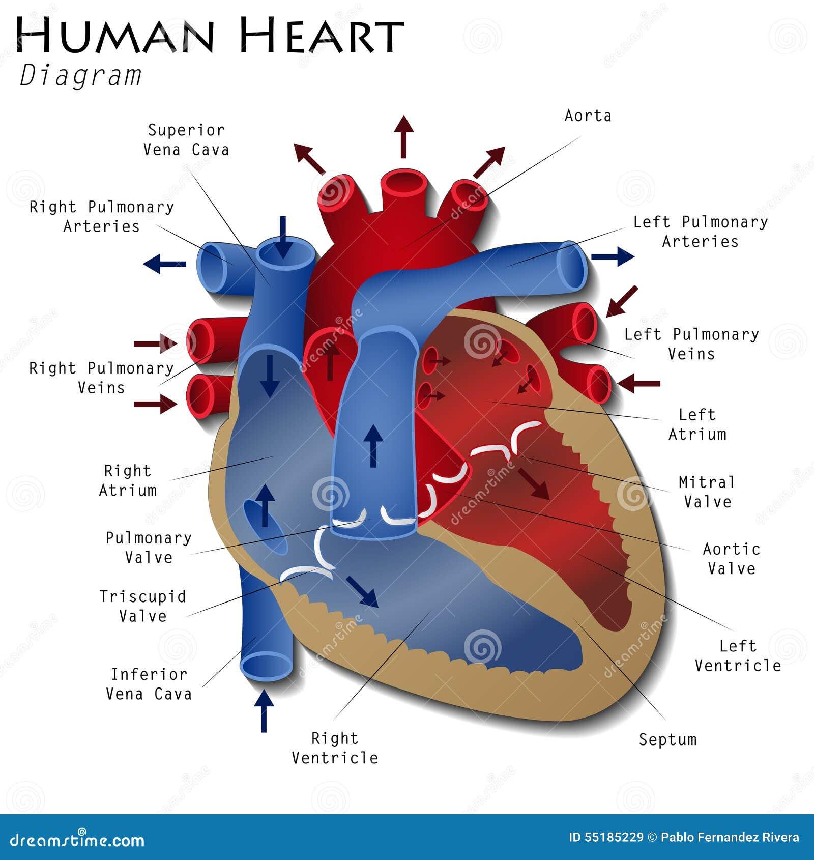 Vistoso Corazón Humano Marcado Foto - Imágenes de Anatomía Humana ...