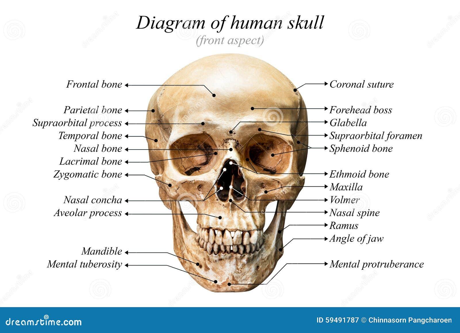 Diagrama humano del cráneo imagen de archivo. Imagen de cara - 59491787