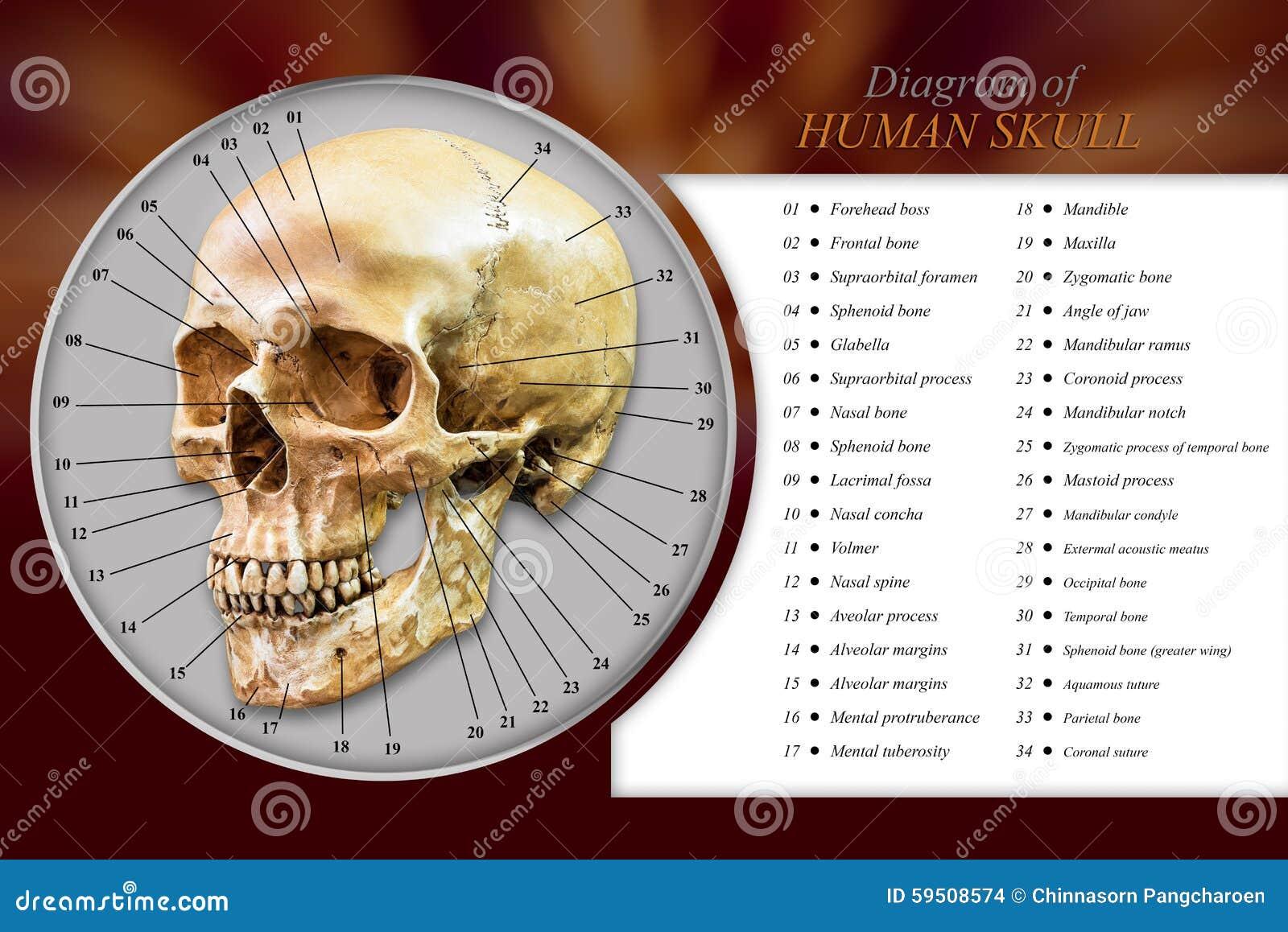 Diagrama humano del cráneo foto de archivo. Imagen de cara - 59508574