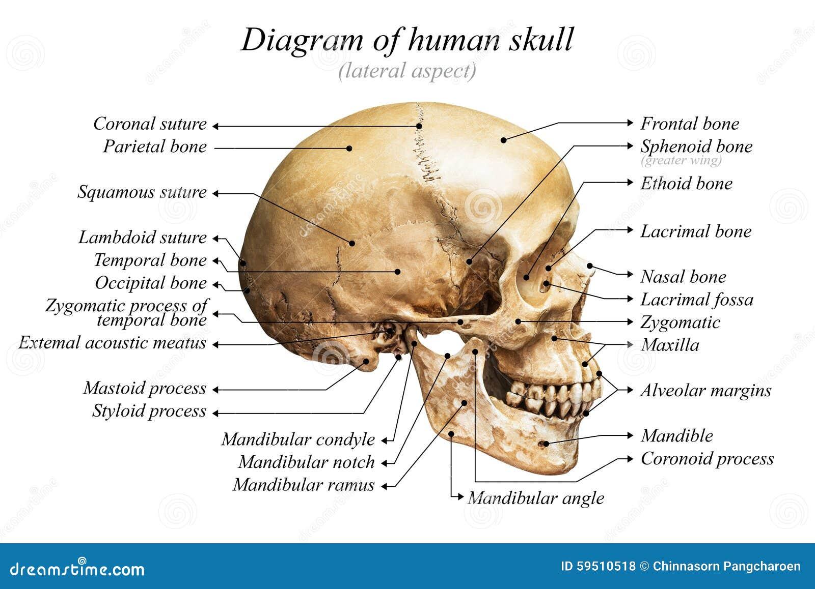 Diagrama humano del cráneo foto de archivo. Imagen de carta - 59510518