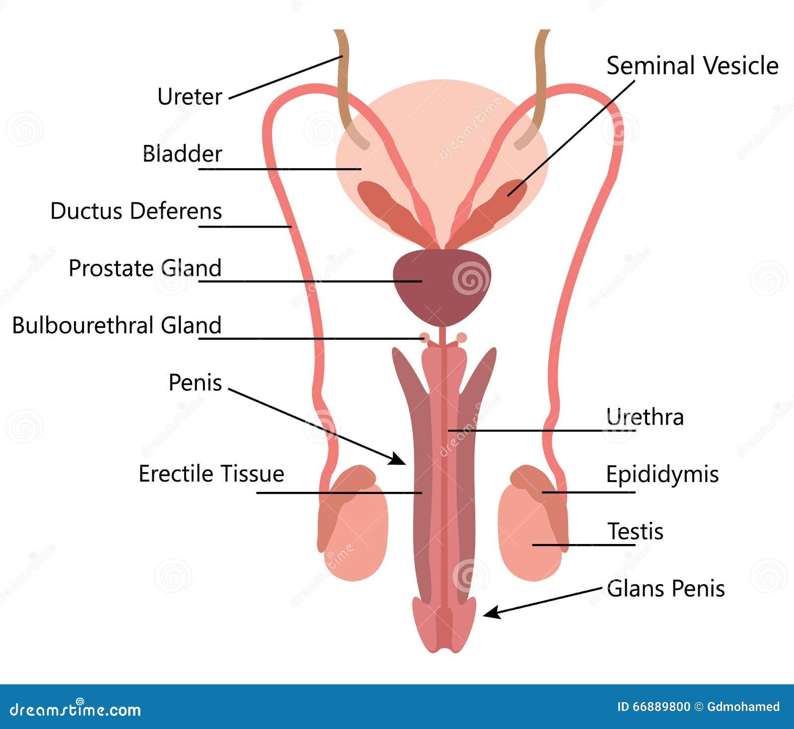 Excepcional Diagrama Del Sistema Endocrino Para Etiquetar ...