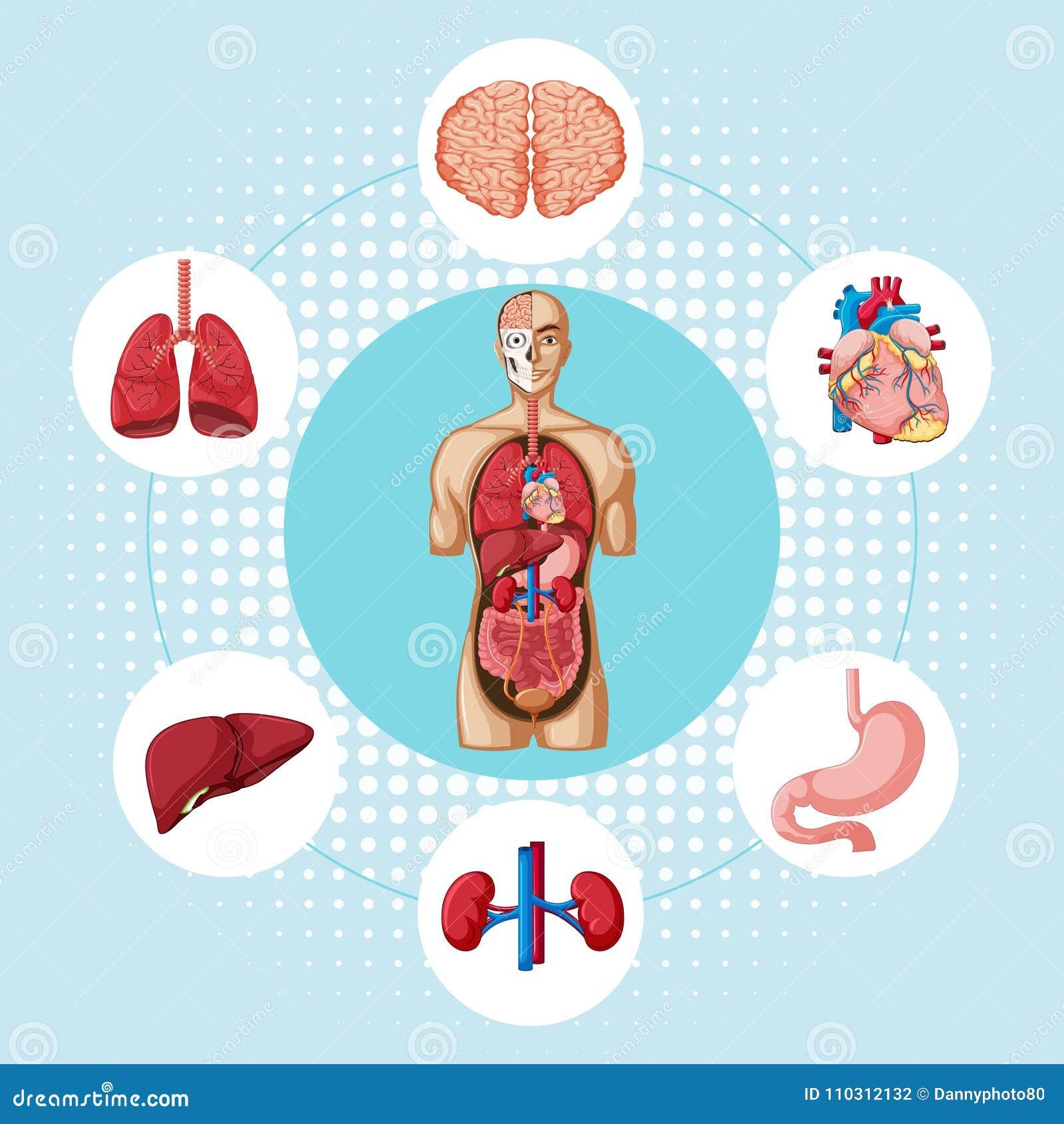 Diagrama Que Muestra Diversos órganos Del Ser Humano Ilustración del ...