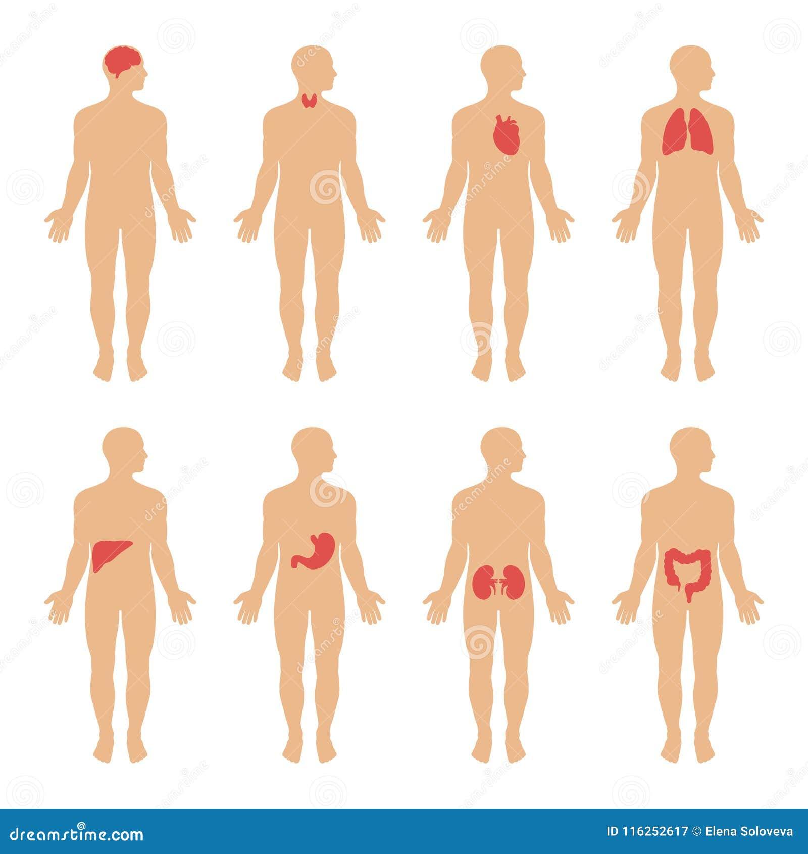Diagrama Que Muestra El Ejemplo De Los Sistemas Del Cuerpo Humano ...