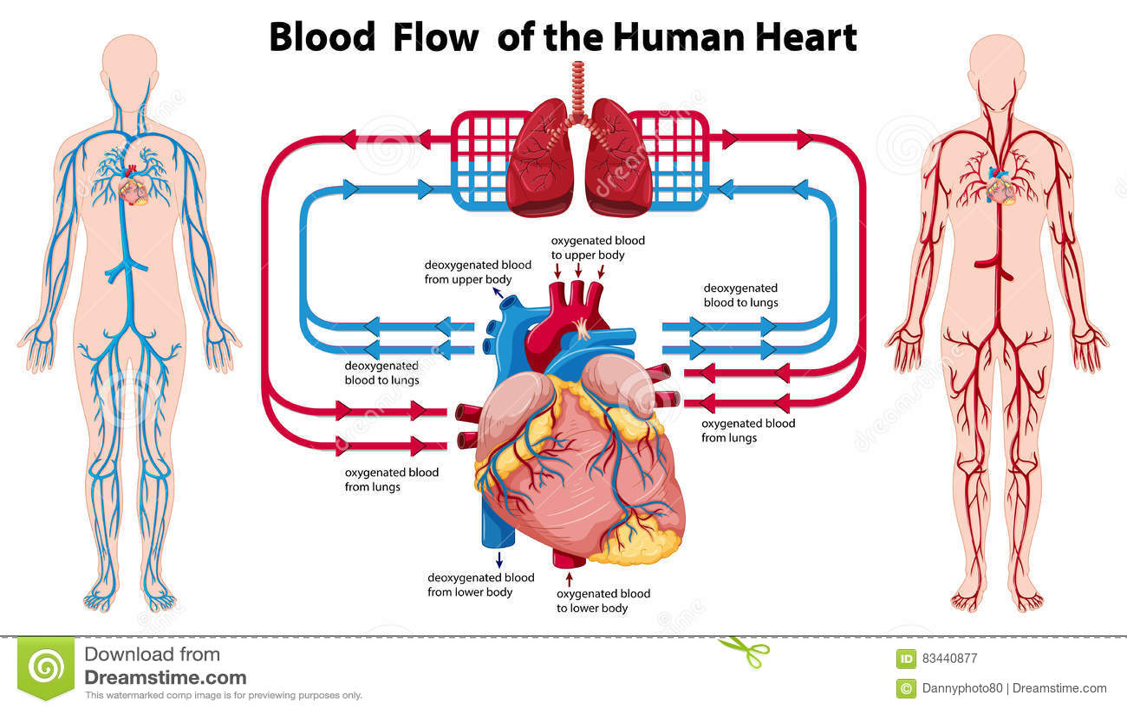 Diagrama Que Muestra El Flujo De Sangre Del Corazón Humano ...