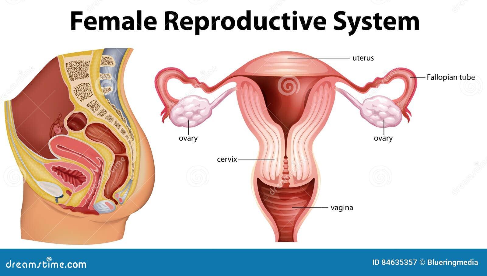 Diagrama Que Muestra El Sistema Reproductivo Femenino Ilustración ...
