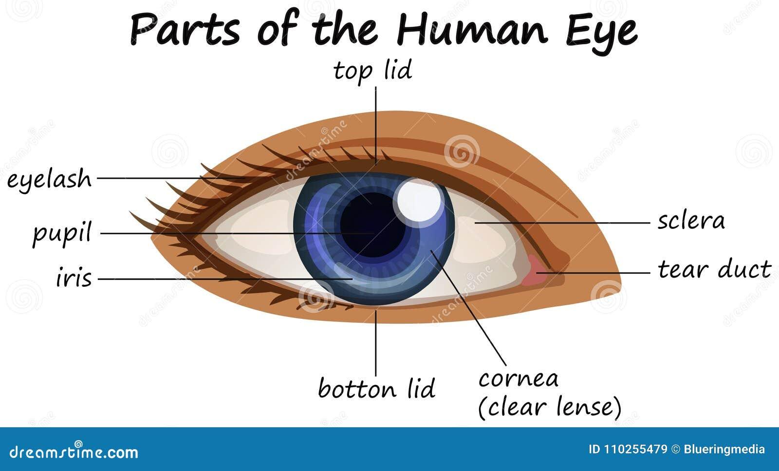 Diagrama Que Muestra Partes Del Ojo Humano Ilustración del Vector ...