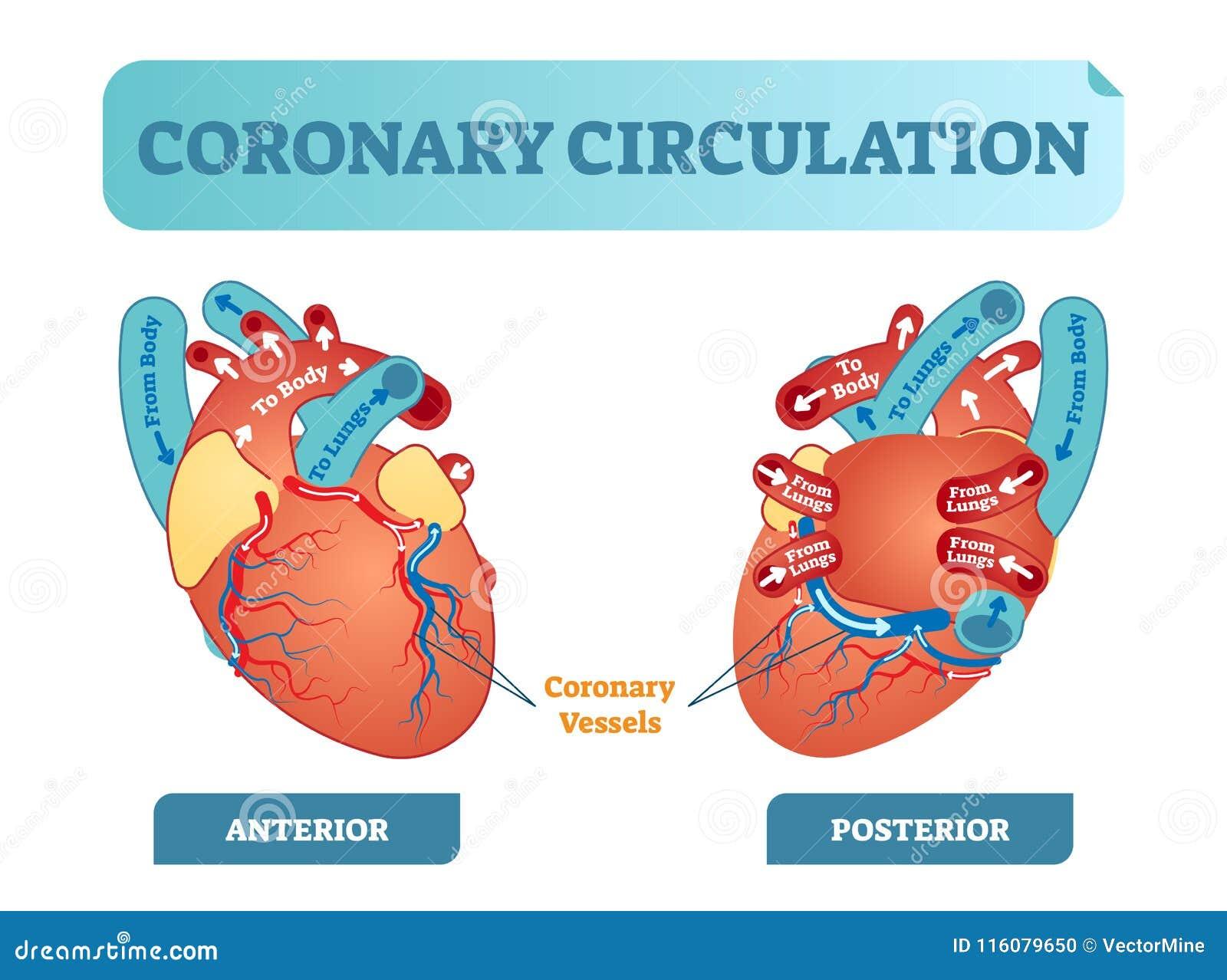 Diagrama Seccionado Transversalmente Anatómico De La Circulación ...