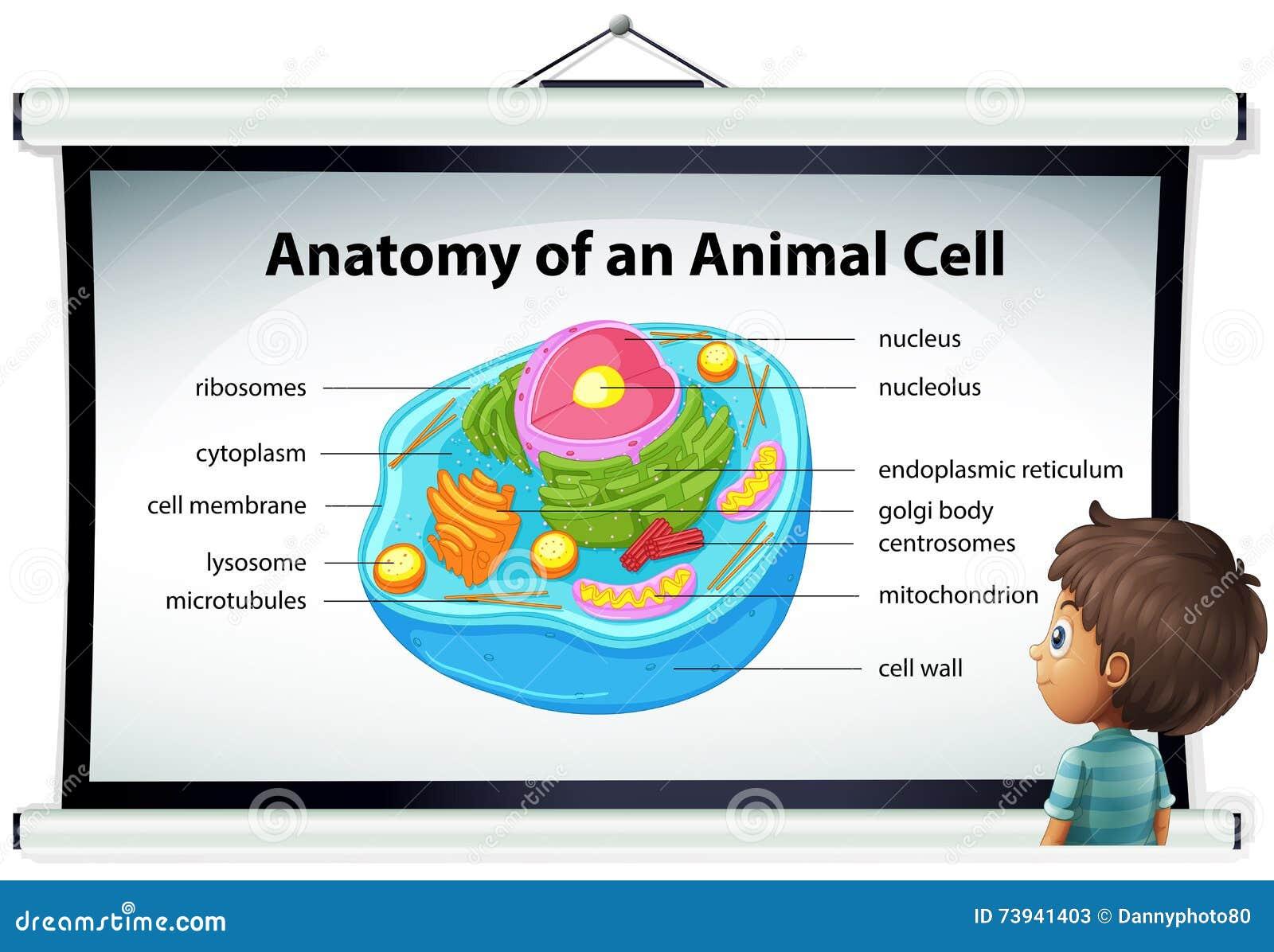 Diagramm, Das Anatomie Der Tierzelle Zeigt Vektor Abbildung ...