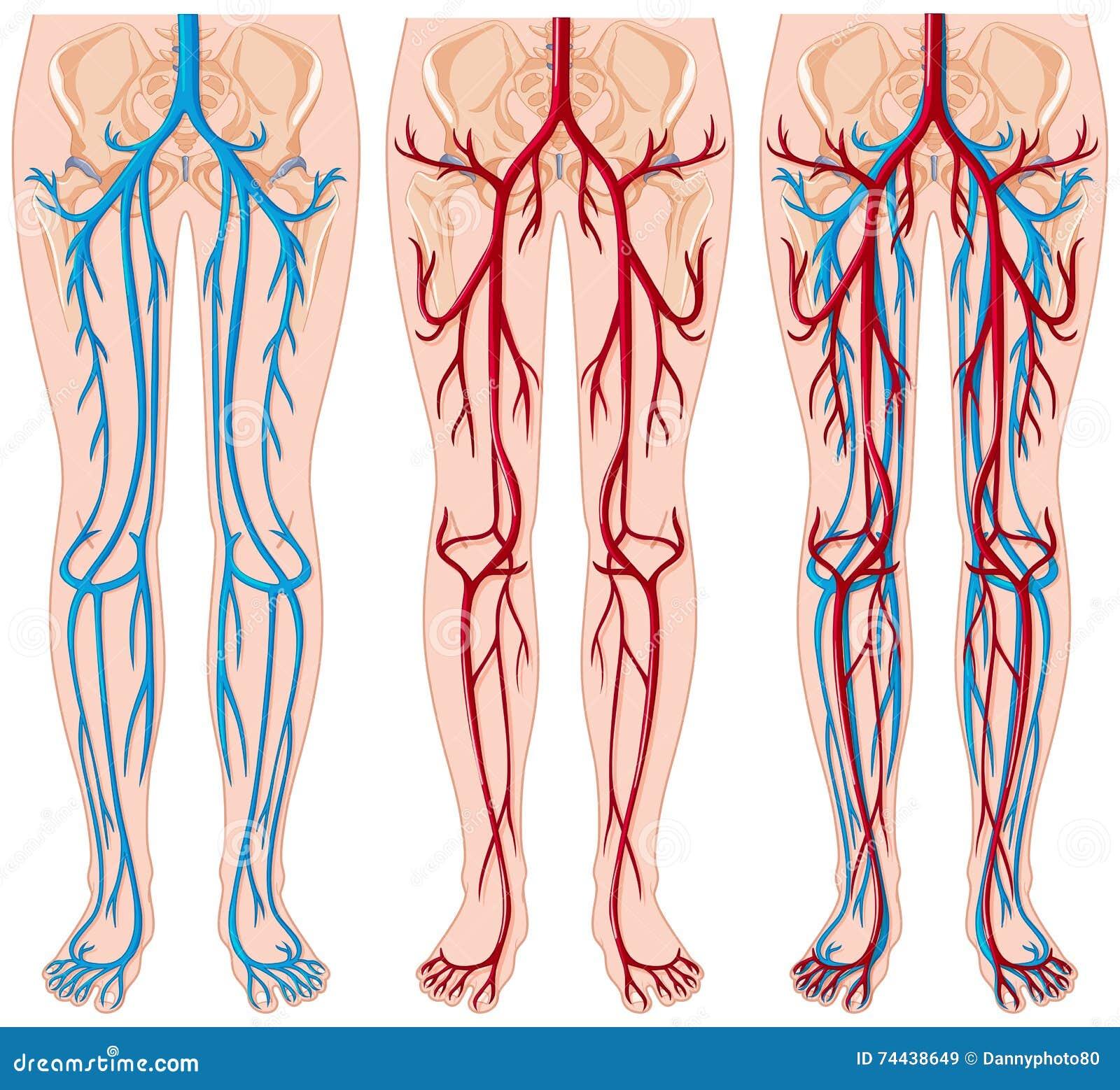 Diagramm, Das Blutgefäße Im Menschen Zeigt Vektor Abbildung ...