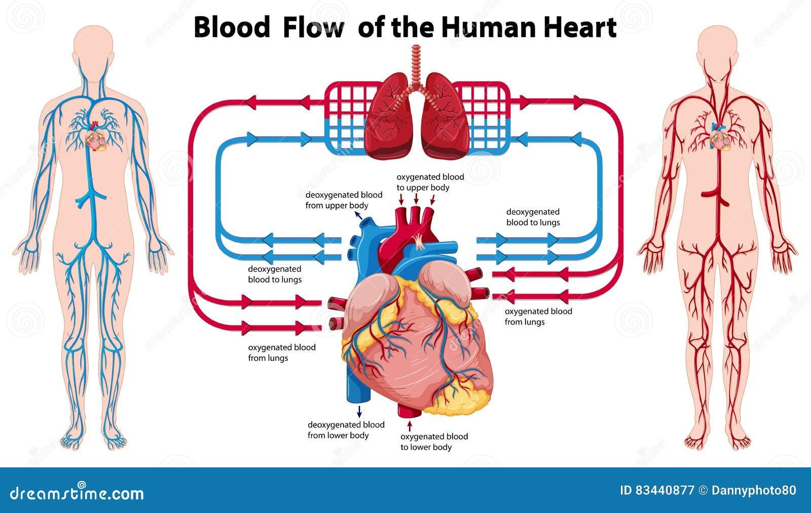 Diagramm, Das Durchblutung Des Menschlichen Herzens Zeigt Vektor ...
