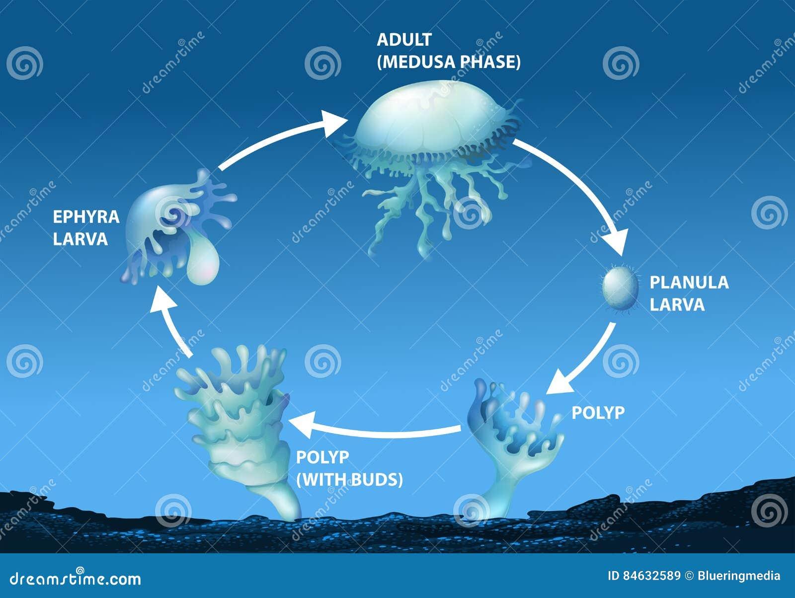 Diagramm, das Lebenszyklus von Quallen zeigt