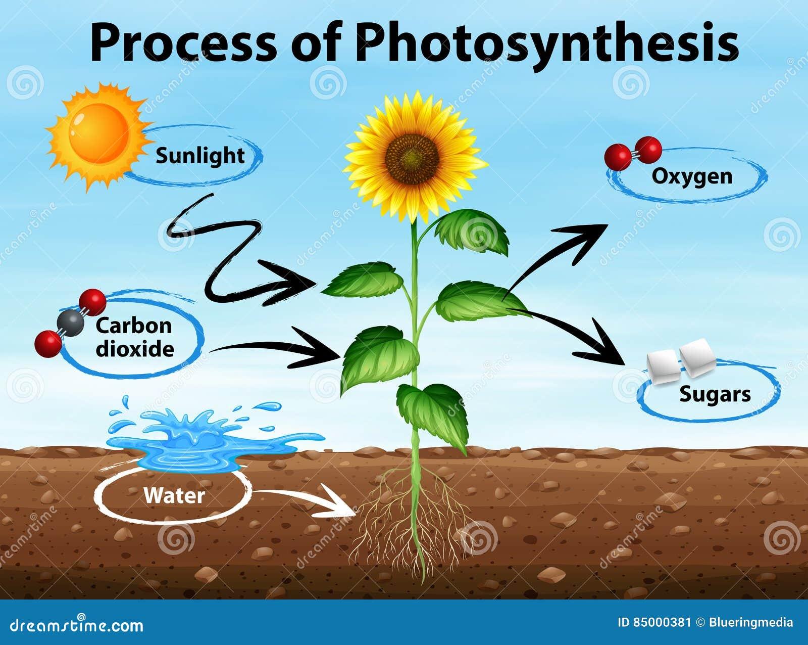 Diagramm, Das Prozess Der Fotosynthese Zeigt Stock Abbildung ...