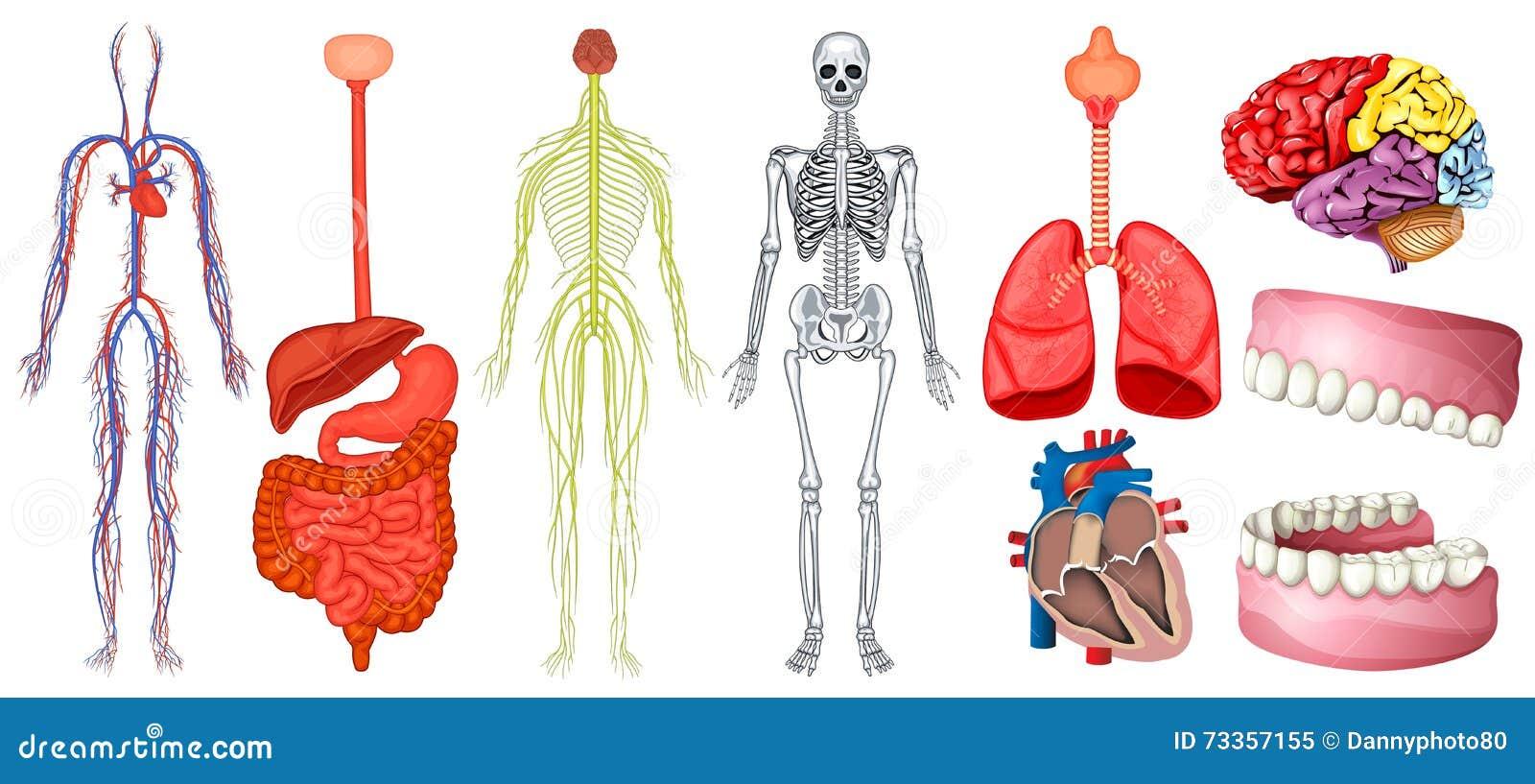 Diagramm Der Menschlichen Anatomie Vektor Abbildung - Illustration ...