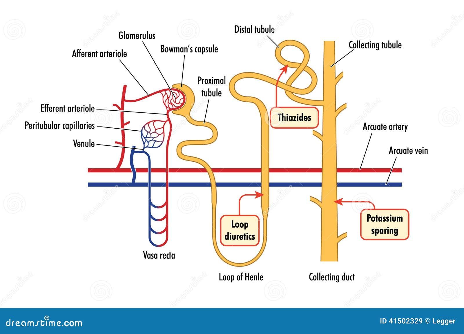 Diagramm der Nierendrogenaktion