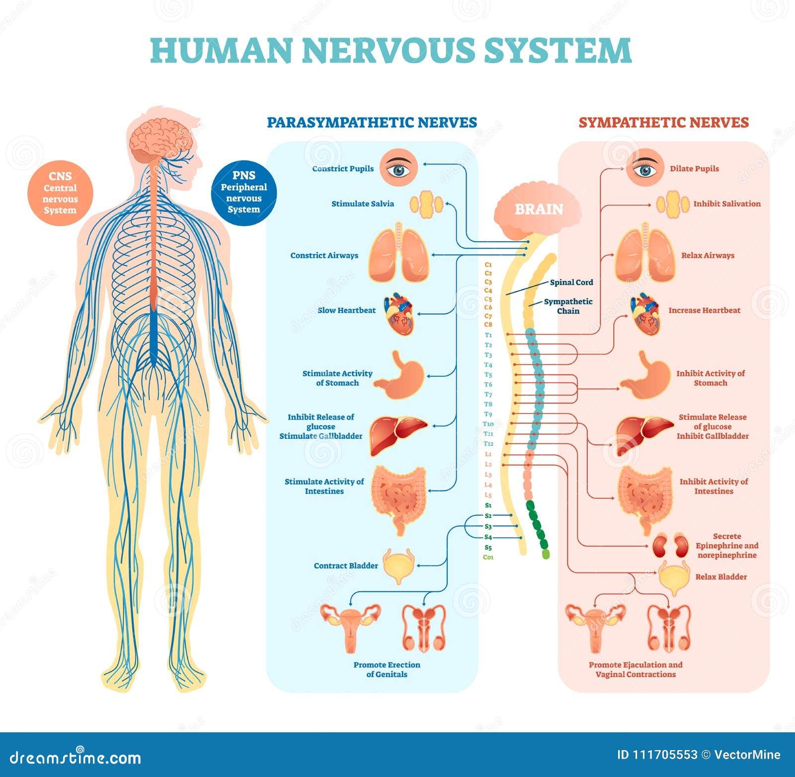 Diagramma medico umano dell illustrazione di vettore del sistema nervoso con i nervi parasimpatici e comprensivi e gli organi int