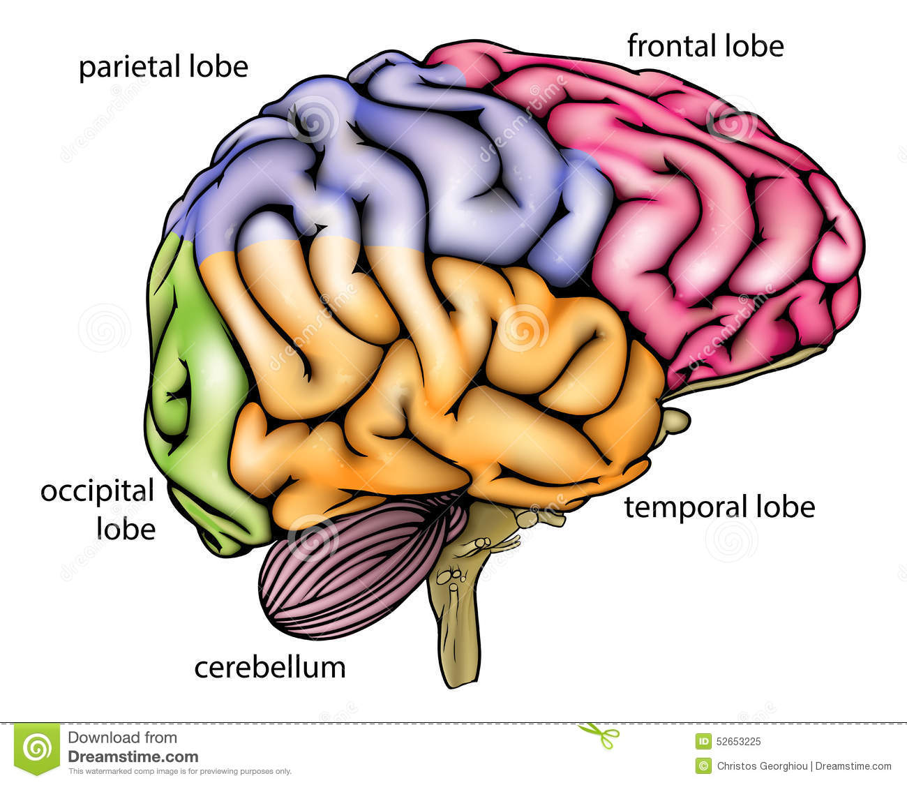 Diagramme D Anatomie De Cerveau Illustration De Vecteur