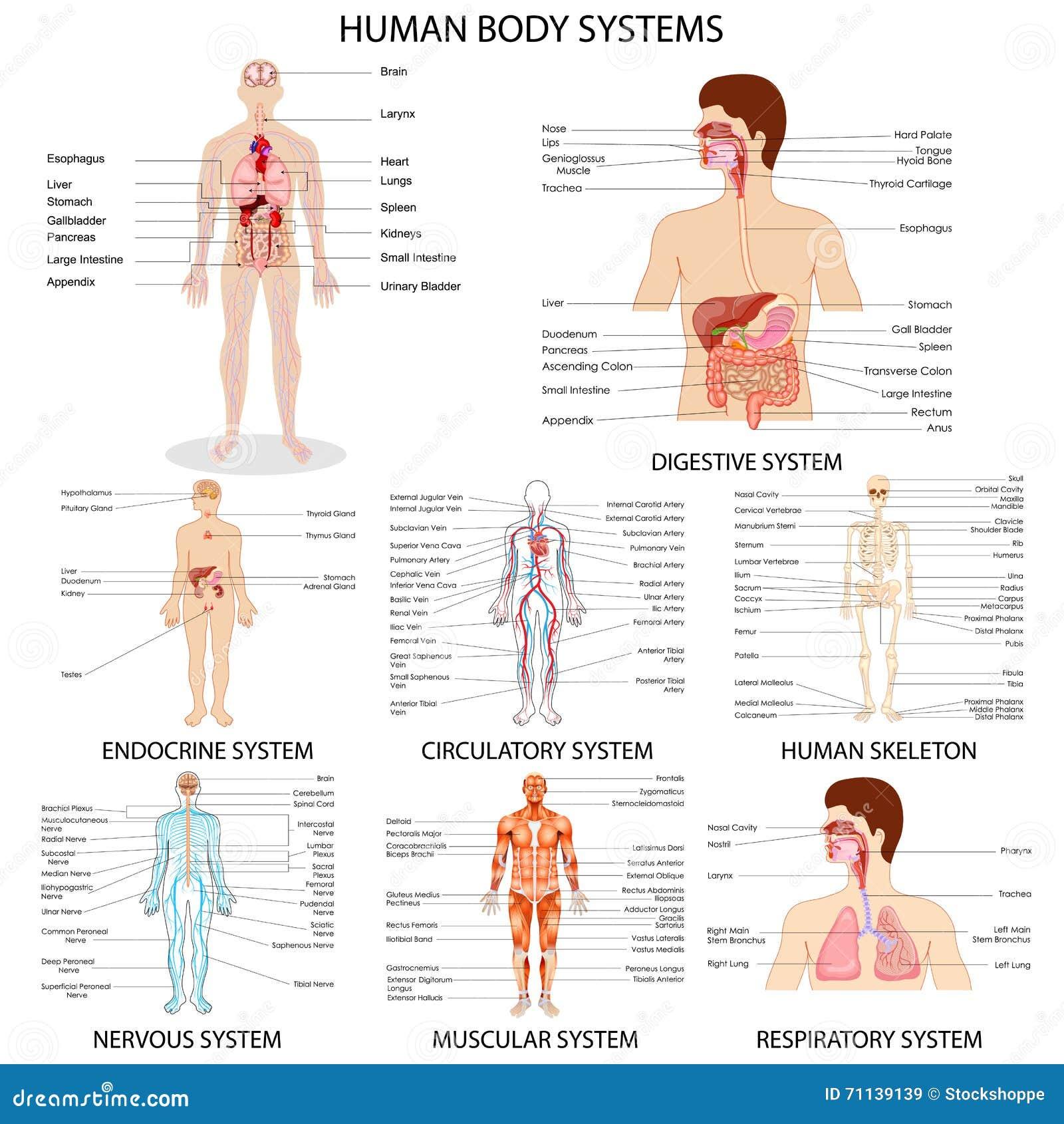 Diagramme de système différent d organe humain