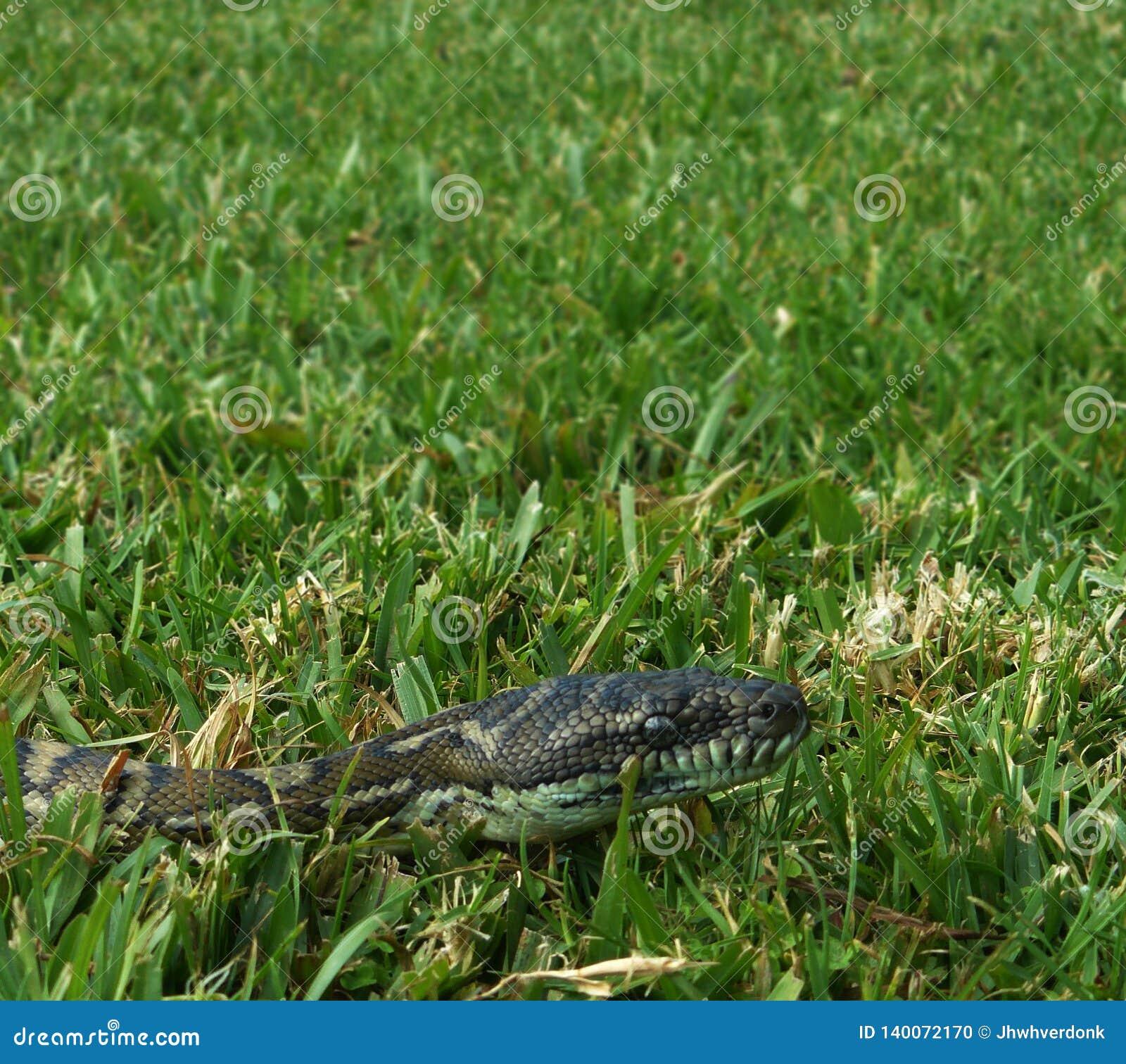 Diamantpythonschlange, die durch das Gras in einem Hinterhof von Australien gleitet