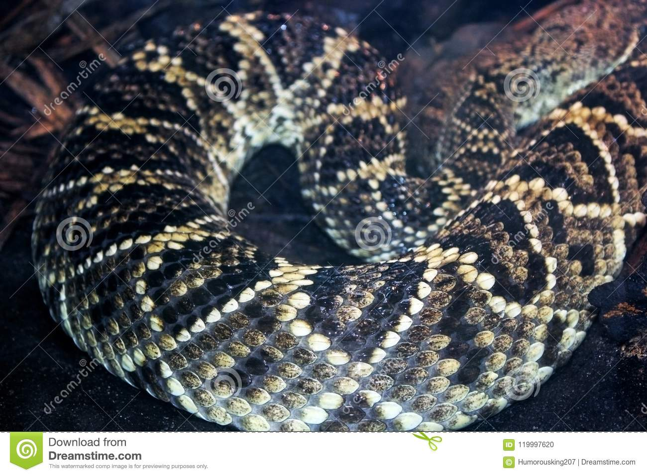 Diamond skin pattern of Eastern diamond back rattlesnake