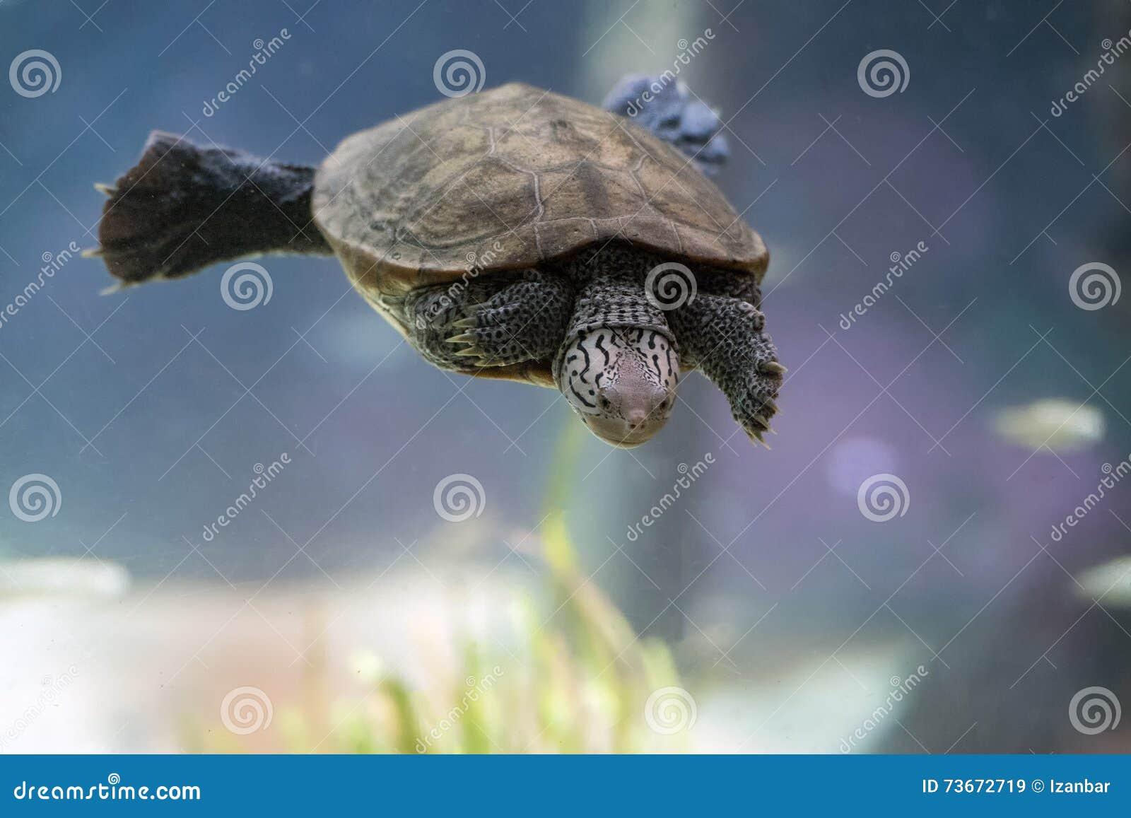 Diamondback terrapin żółw pływa podwodnego zakończenie up