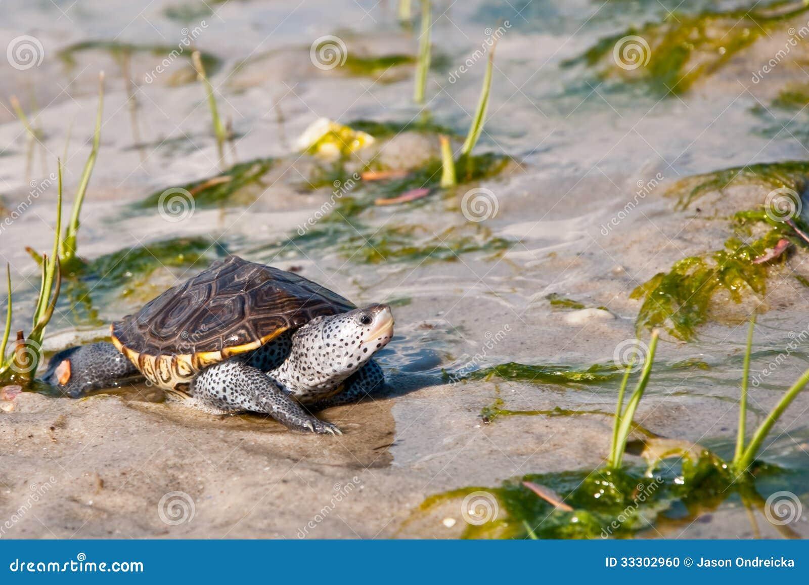Baby diamondback terrapin walking across the salt marsh